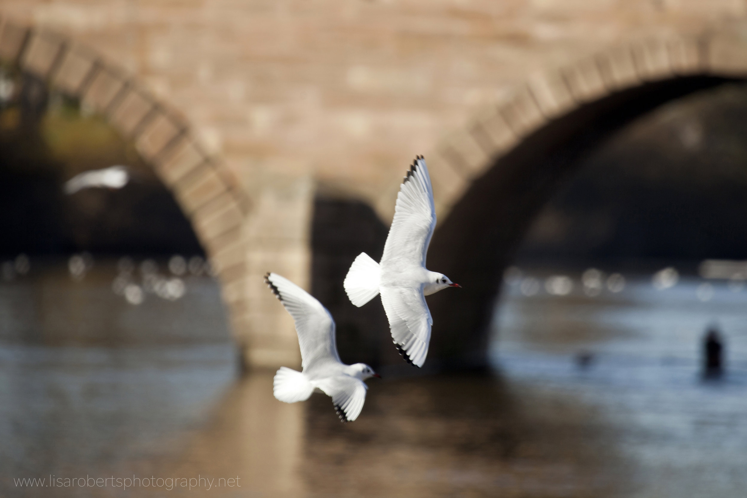 Black-headed Gulls in flight