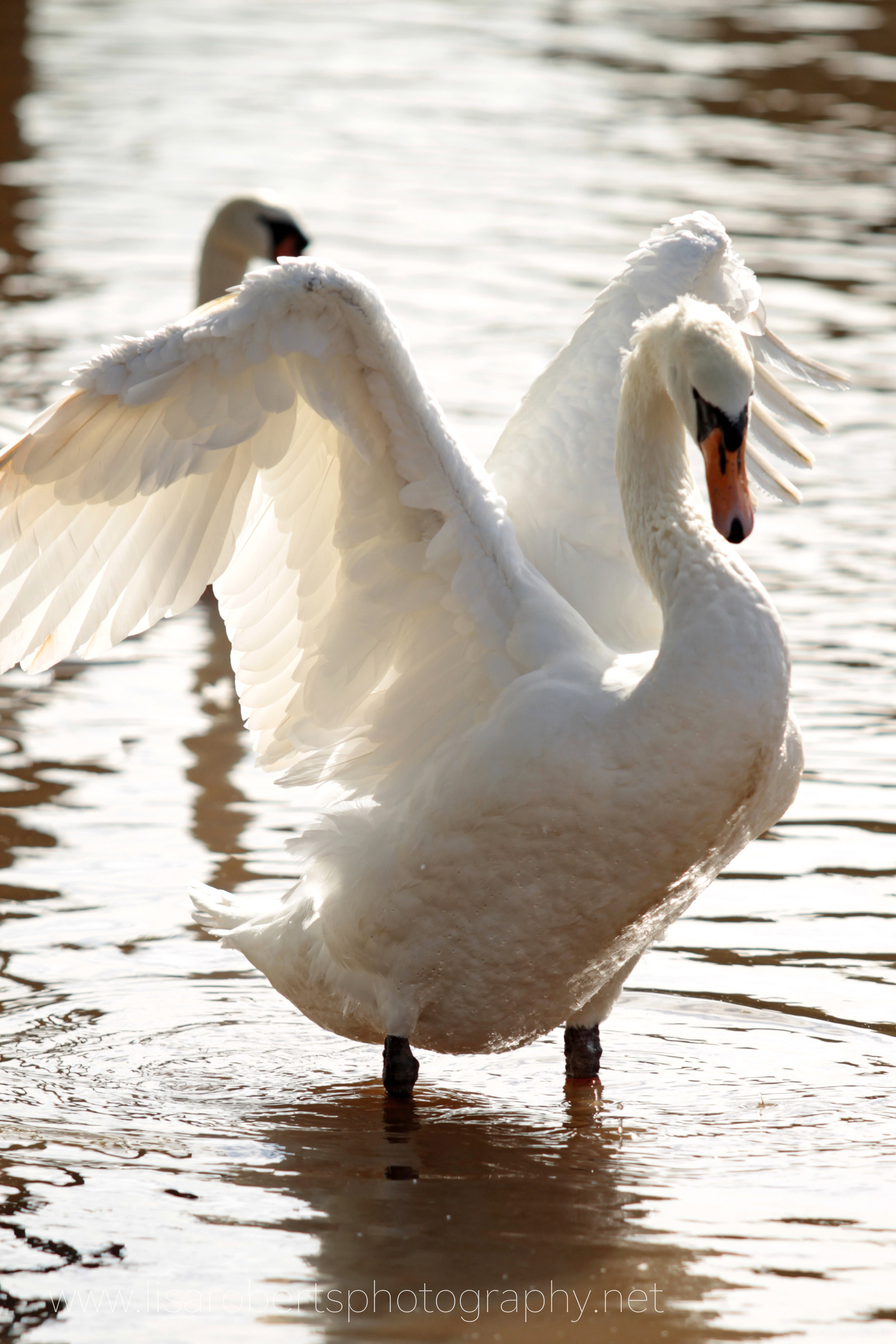 Swan shaking wings