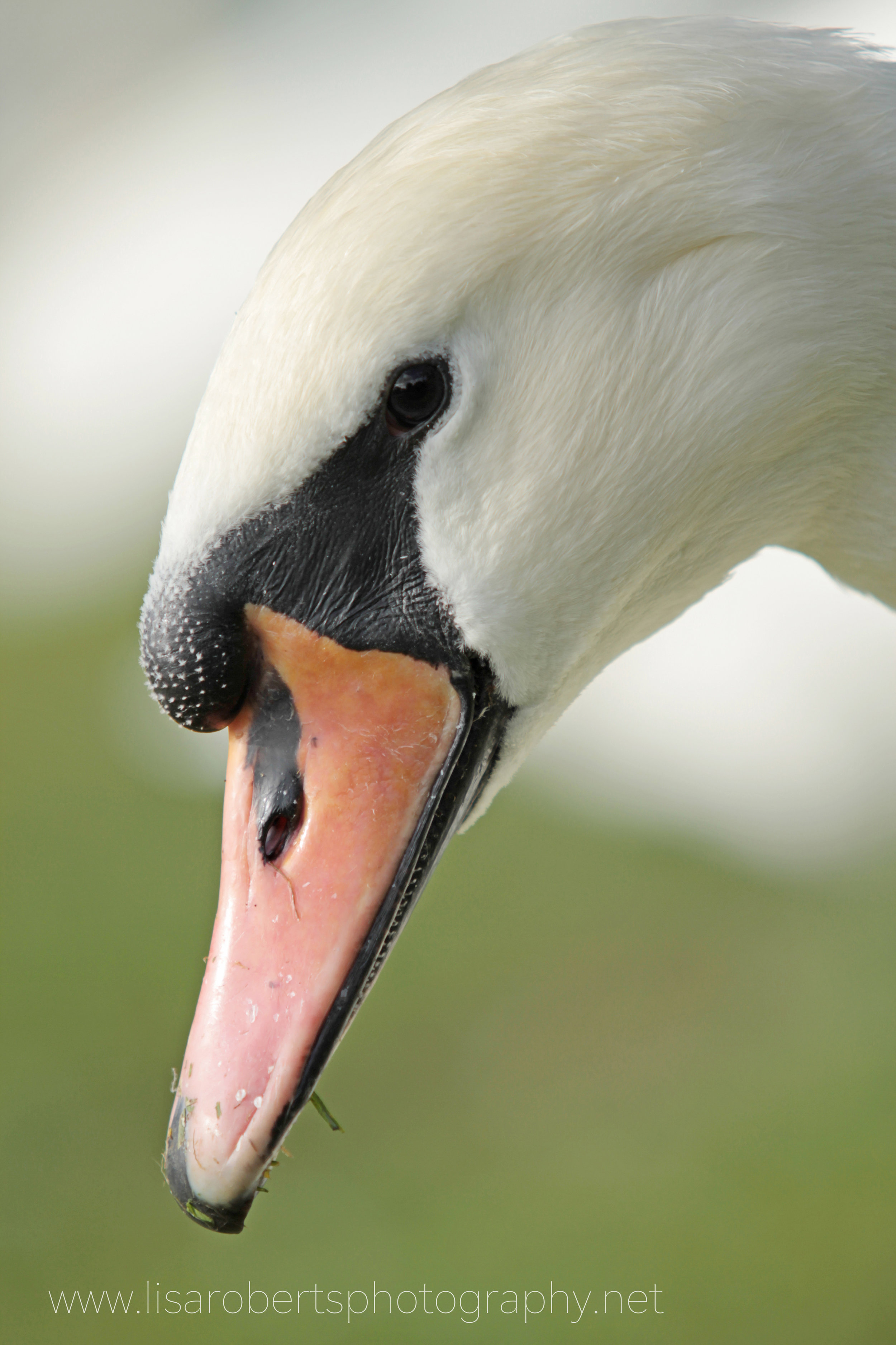 Female Swan, up close