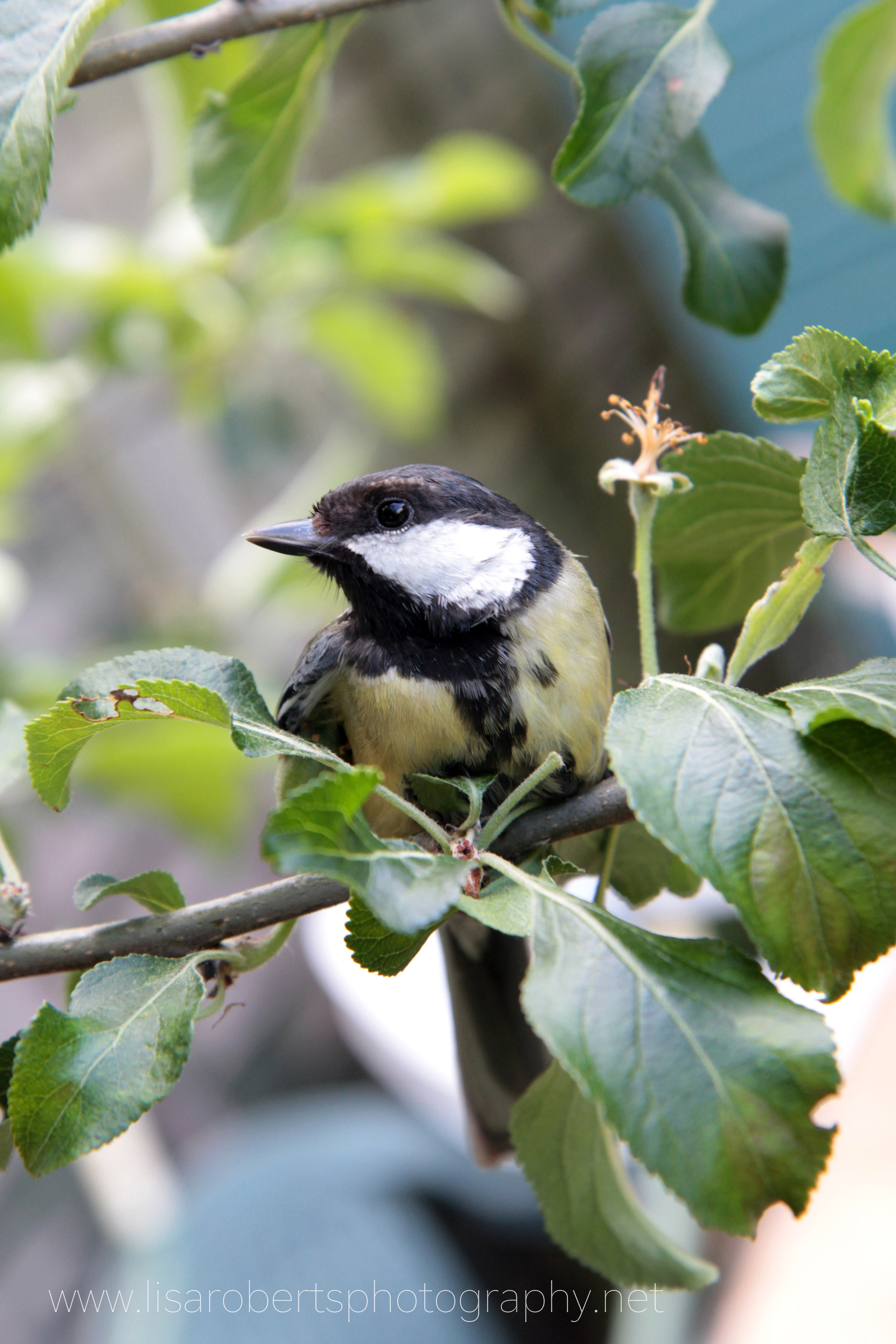 Great Tit in apple tree