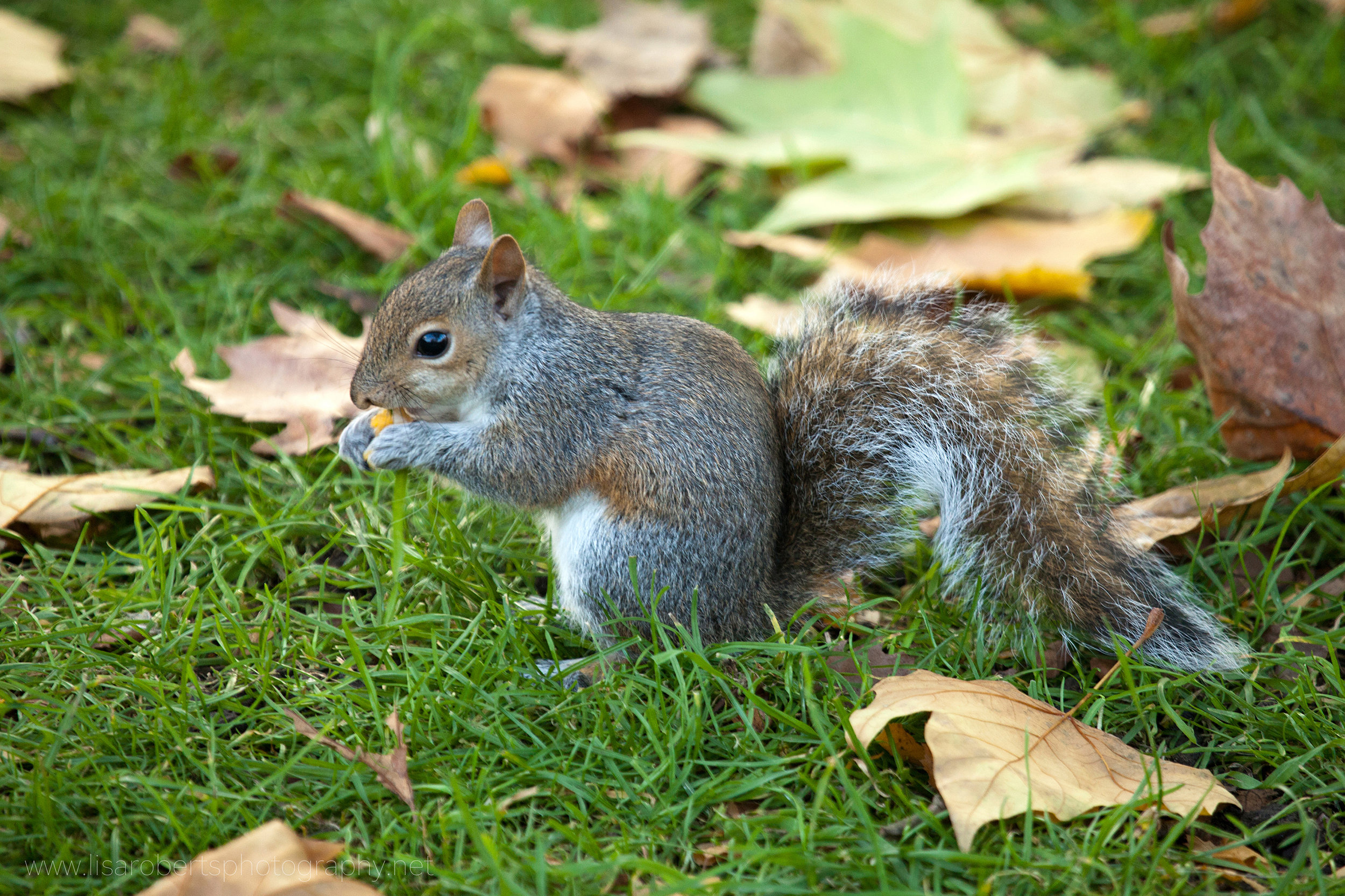 Grey Squirrel on the ground
