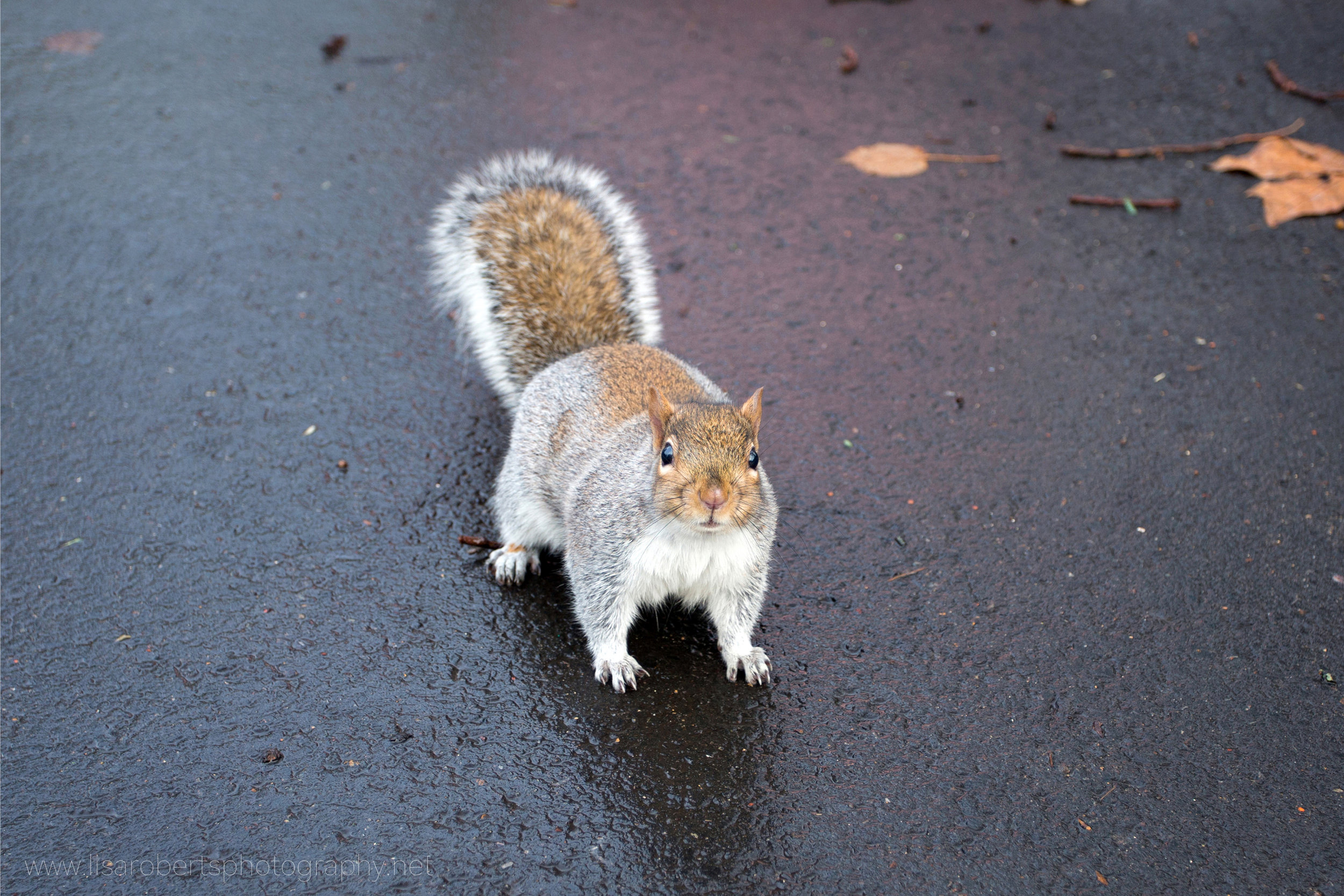 Grey Squirrel on wet path