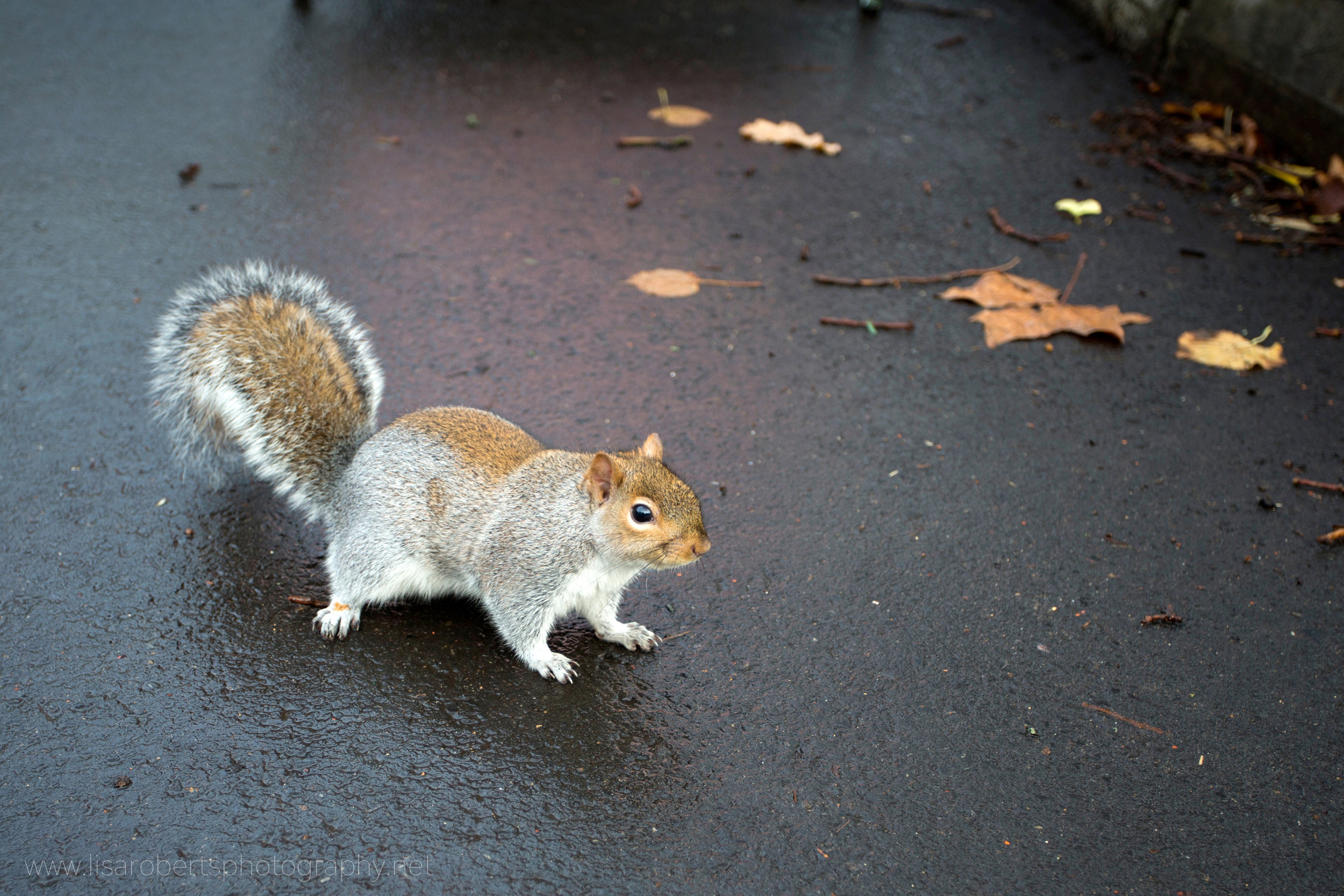 Squirrel on wet path 2