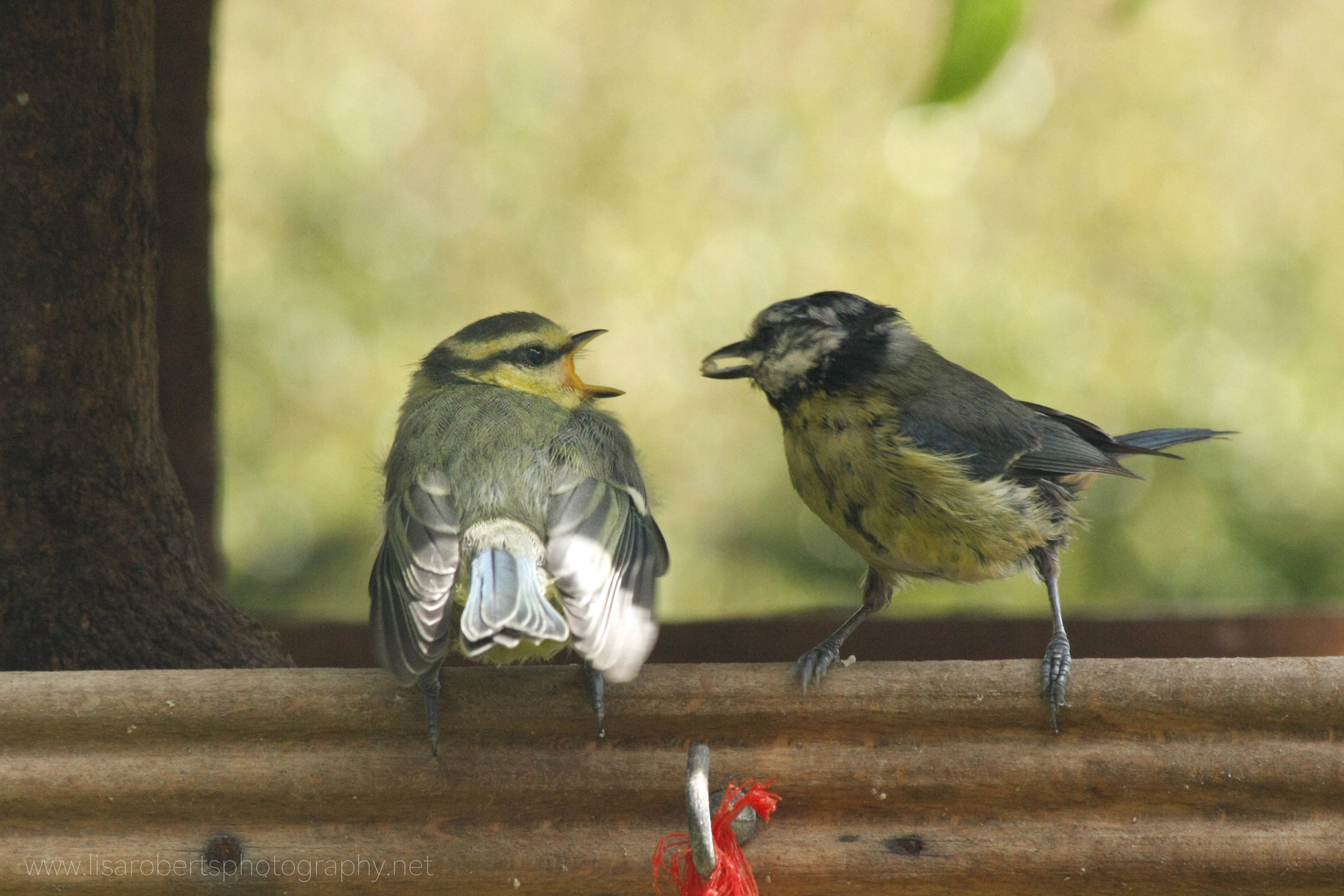 Blue Tit feeding young 2