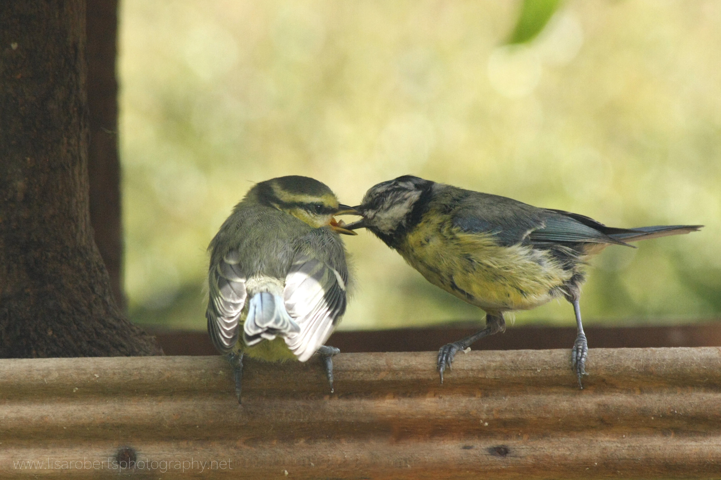 Blue Tit feeding young 3