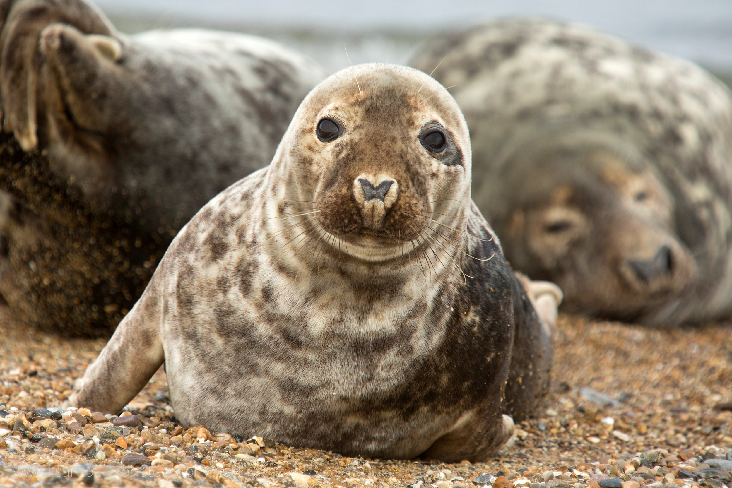 Grey Seal face on