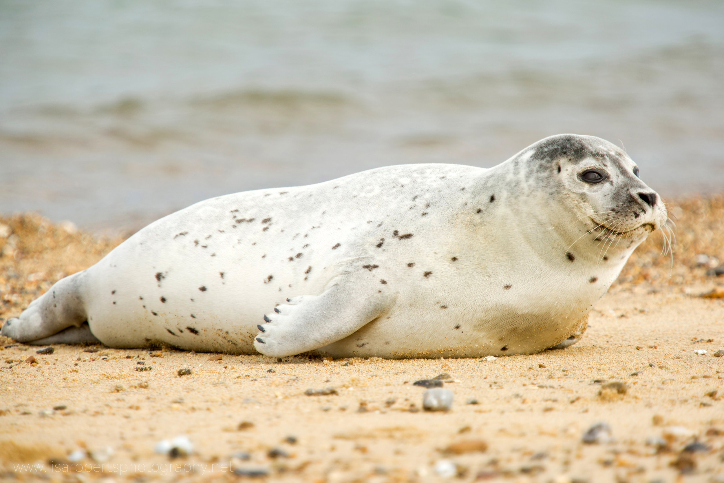 Grey Seal full profile