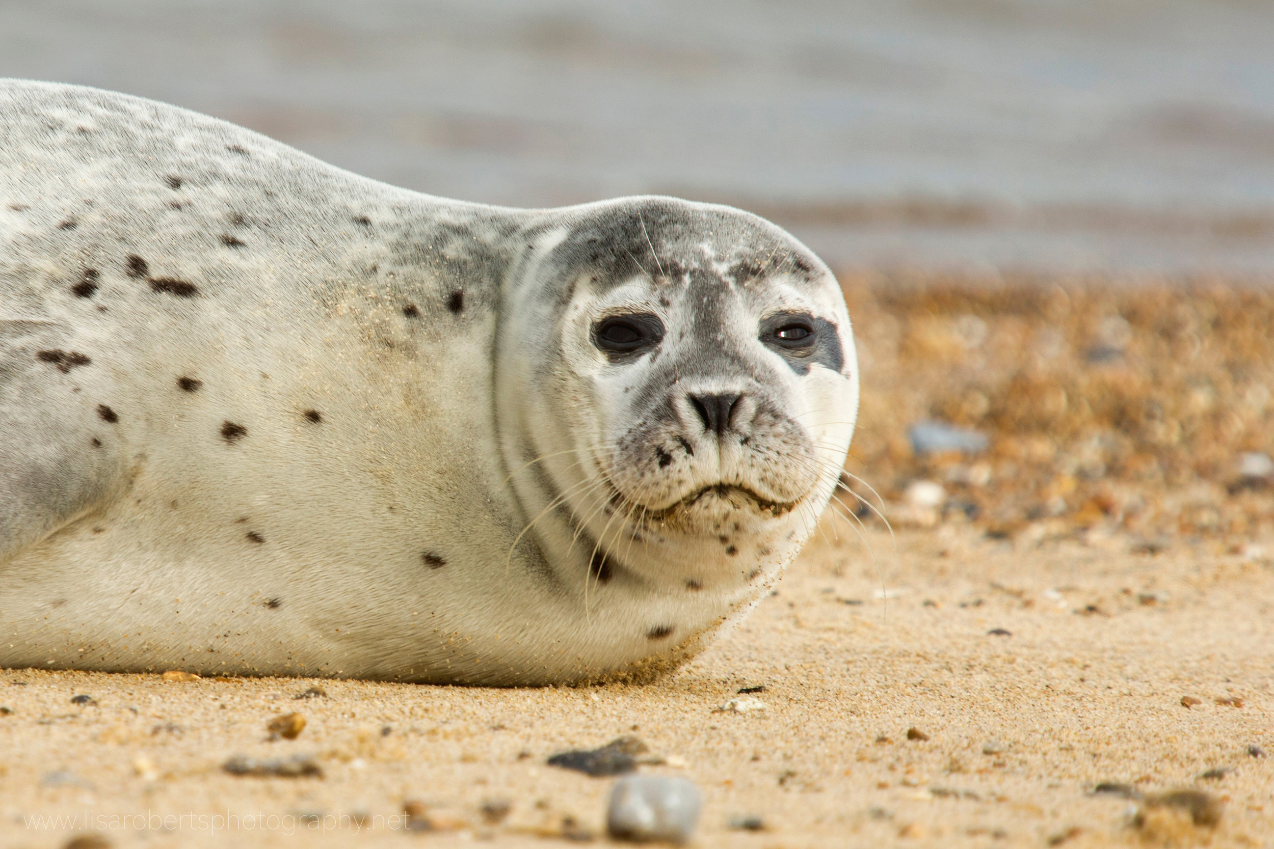 Grey Seal looking
