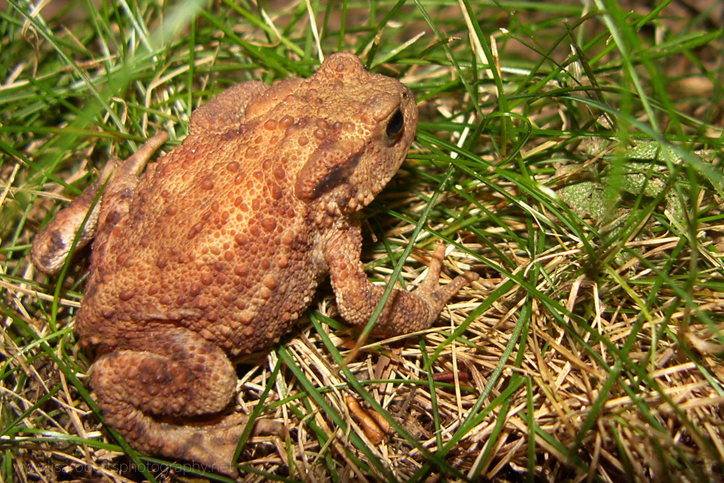 Common Toad profile