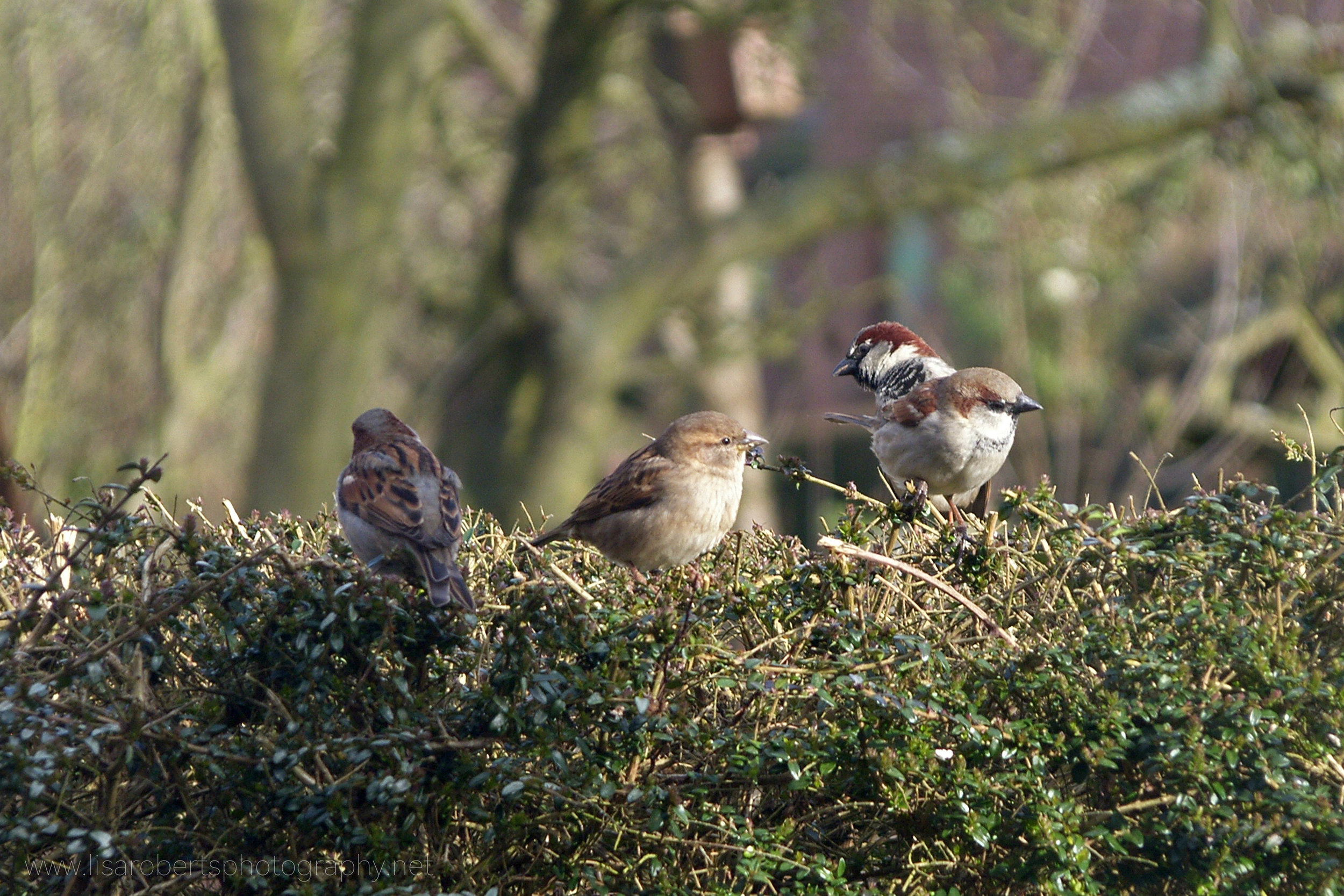 House Sparrows on hedge
