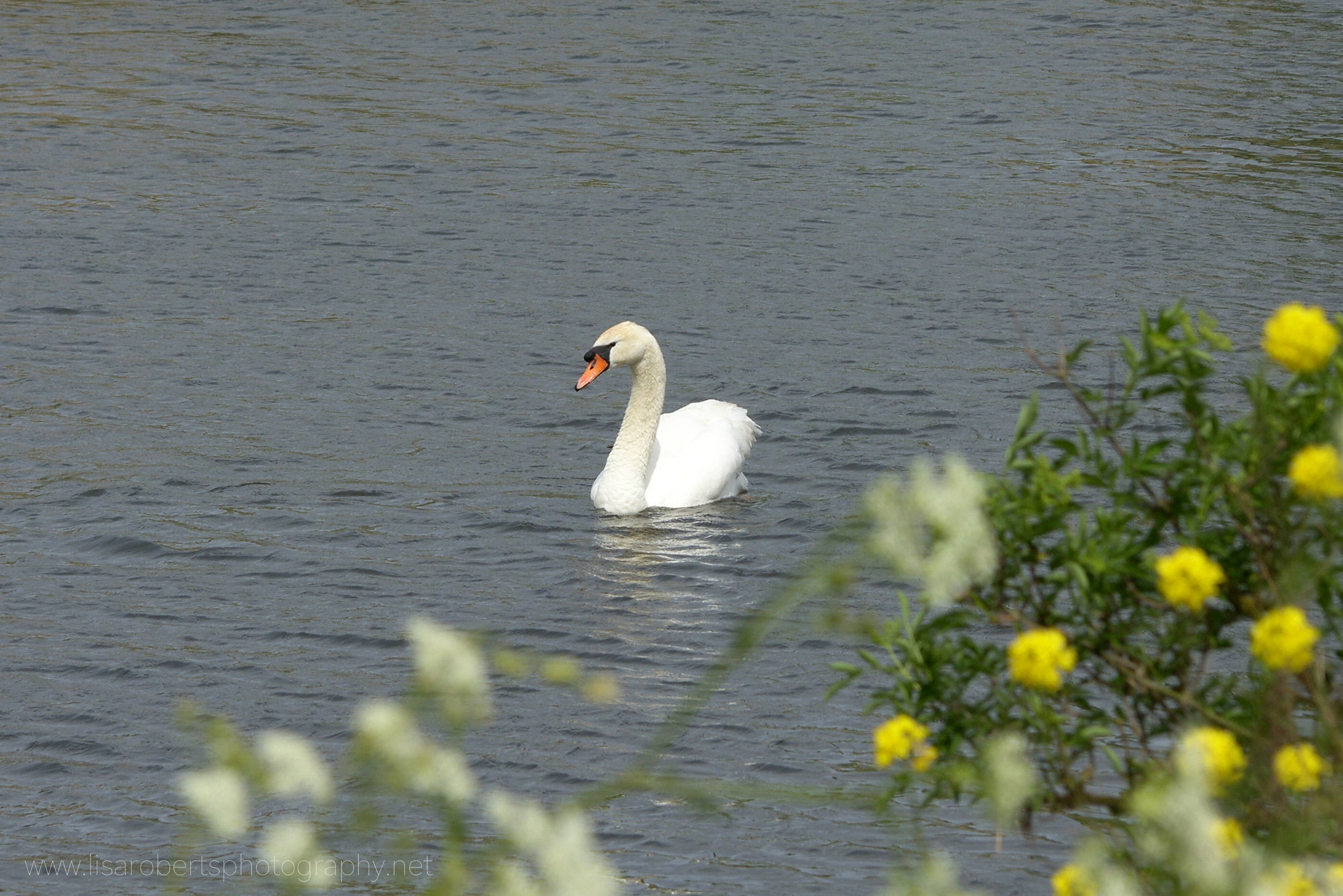 Swan on the River Severn