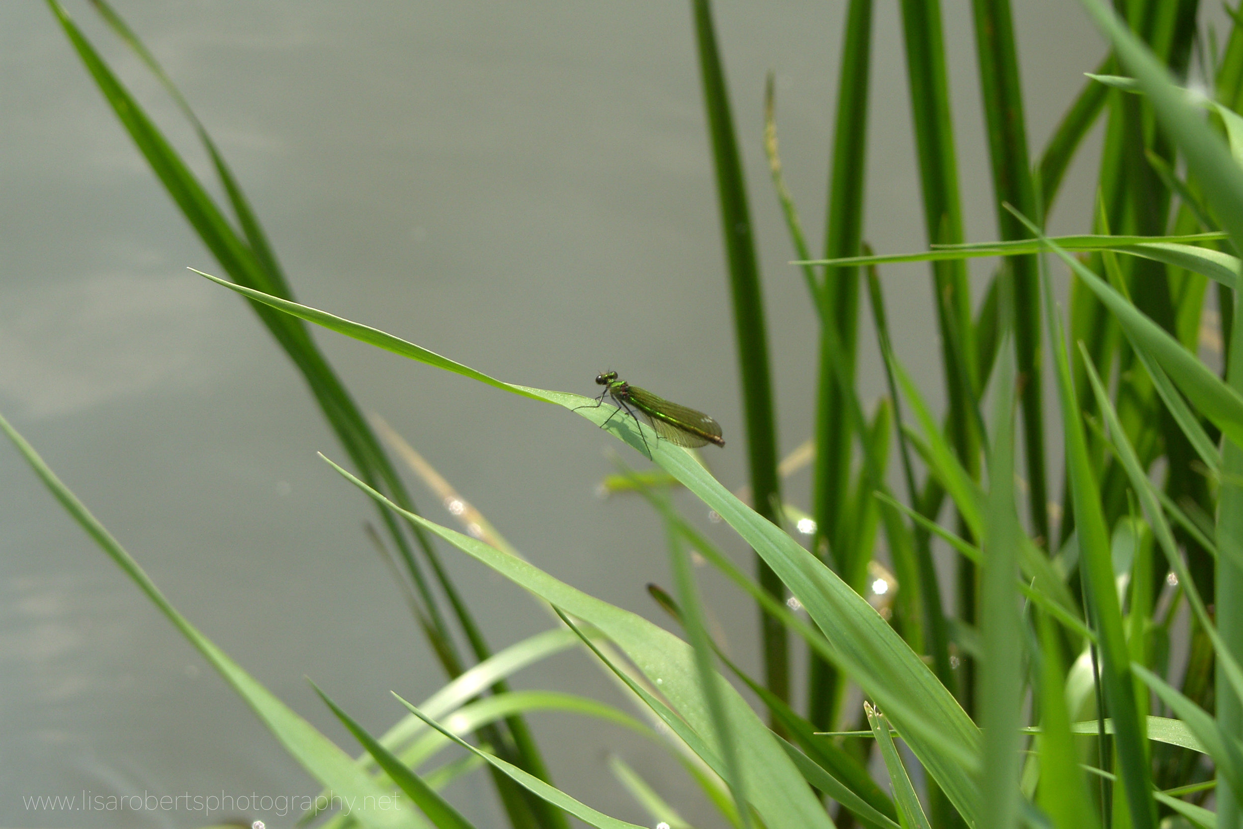 Beautiful Demoiselle, female