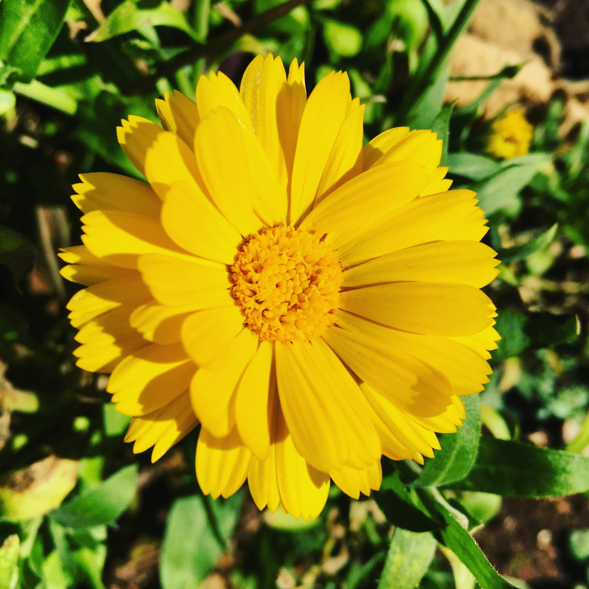 Calendula officinalis seeds are available from  Fedco Seeds