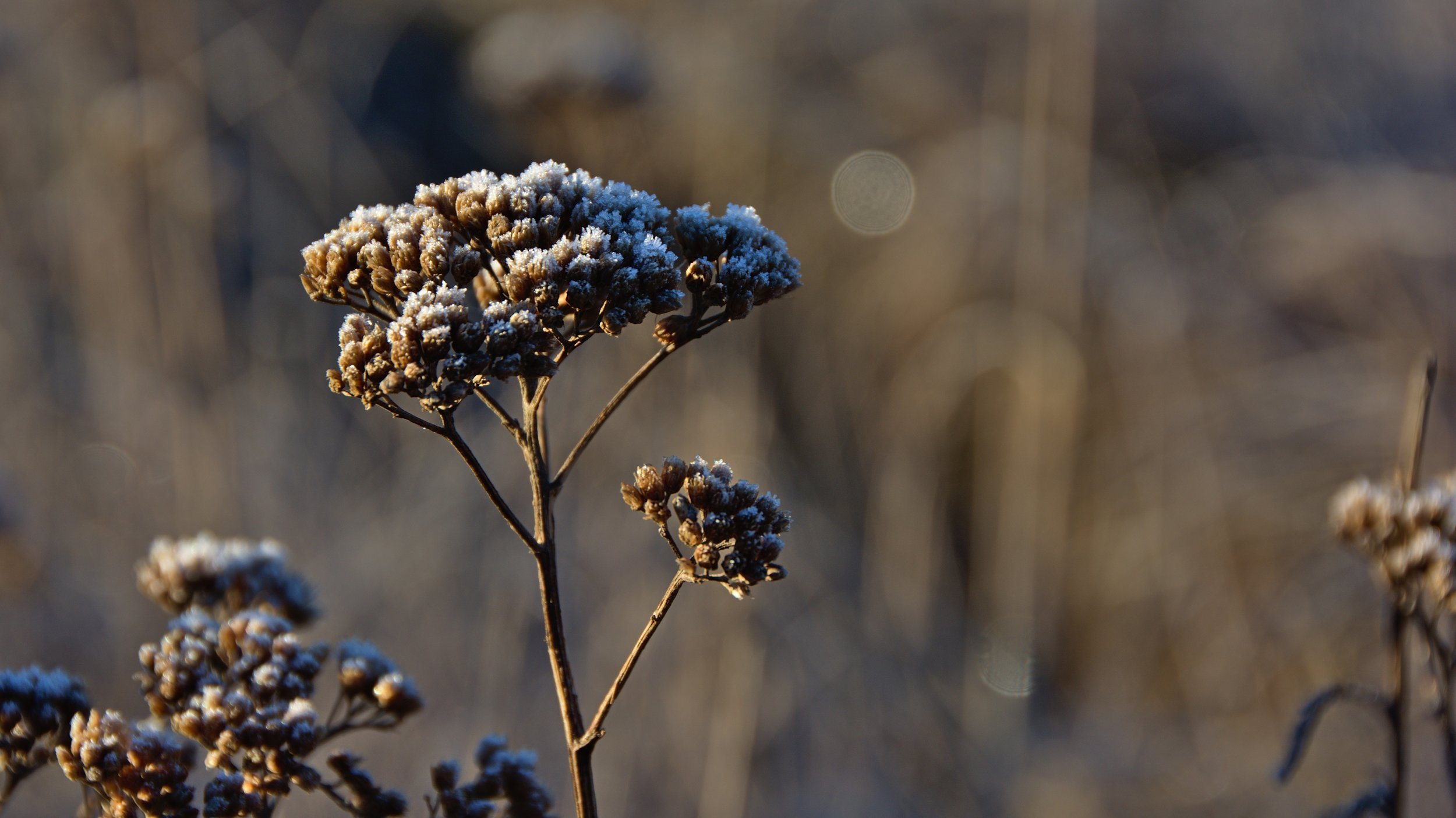 Yarrow stands tall, even after other weeds of the field die back.