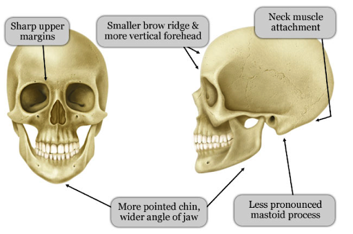 Crâne féminin, source :  http://www.infotransgenre.be