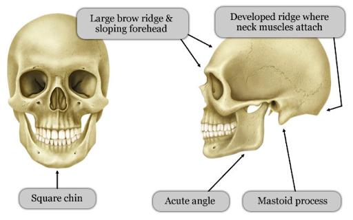 Crâne masculin, source :  http://www.infotransgenre.be