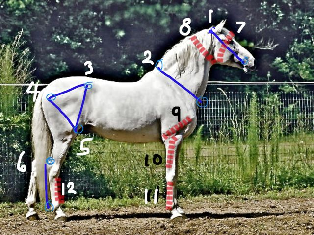HOMEWORK – BRIDLE LENGTHS & FACE WIDTHS:  The blue lines are bridle lengths.  These are measurements taken from the poll (top of horse's head, between the ears) to where the corner of the horse's mouth appears, and where the bit is inserted.  This is the length of the bridle, and so I call it the 'bridle length'.  The red dashes are 'face-widths'.