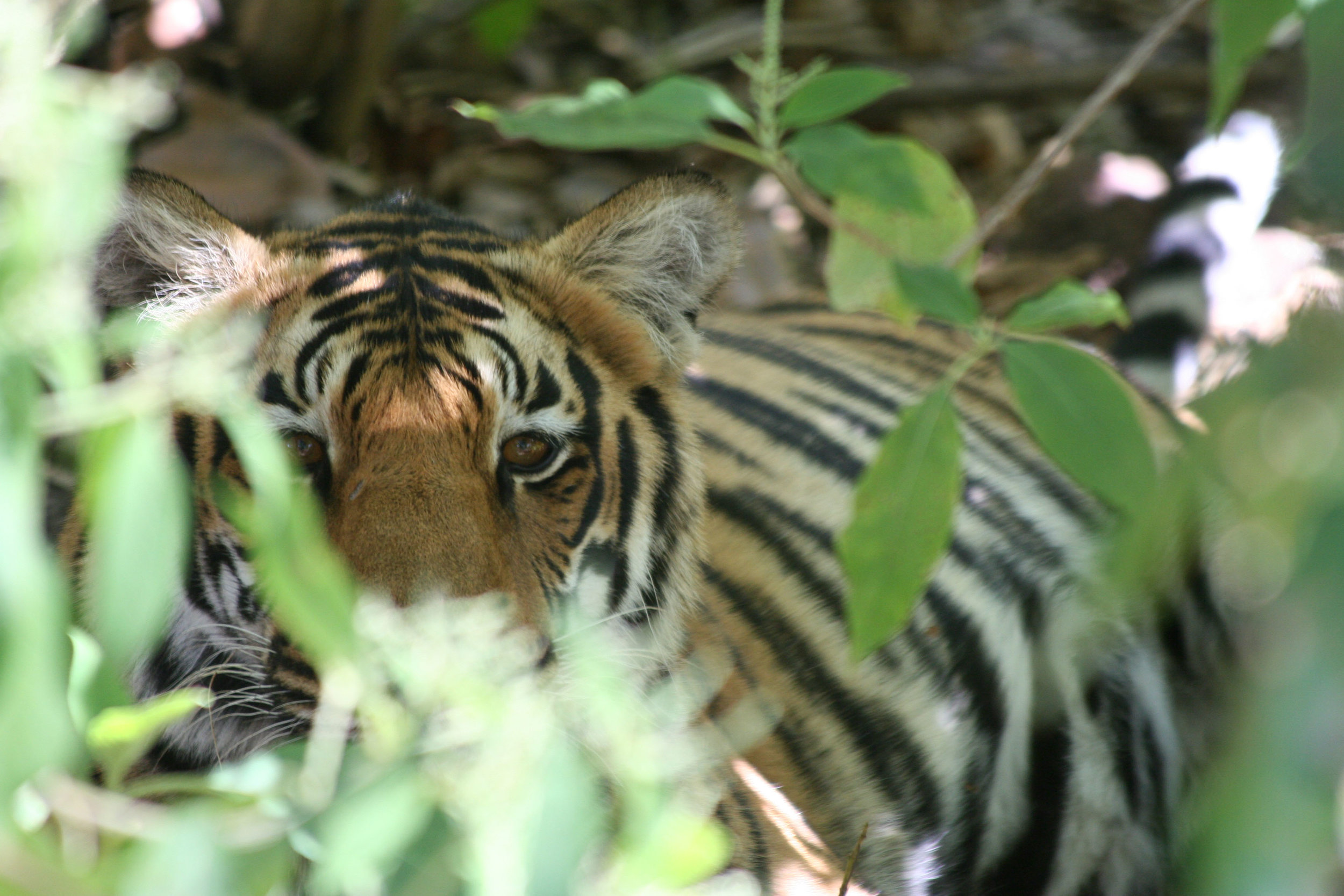 A subadult tiger at Kanha National Park. The photo was taken from the back of an elephant during Yocom's research trip to India. (Photo by Katy Yocom)