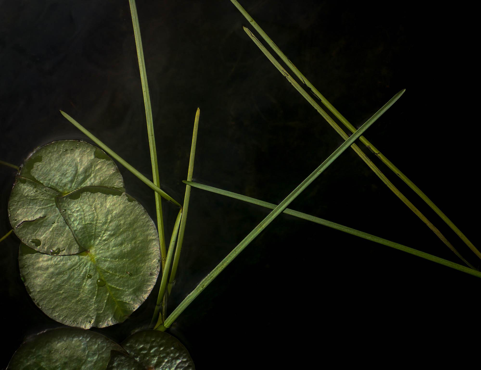 No 1-7032790Jane Fulton Alt_ Water Lilies.jpg