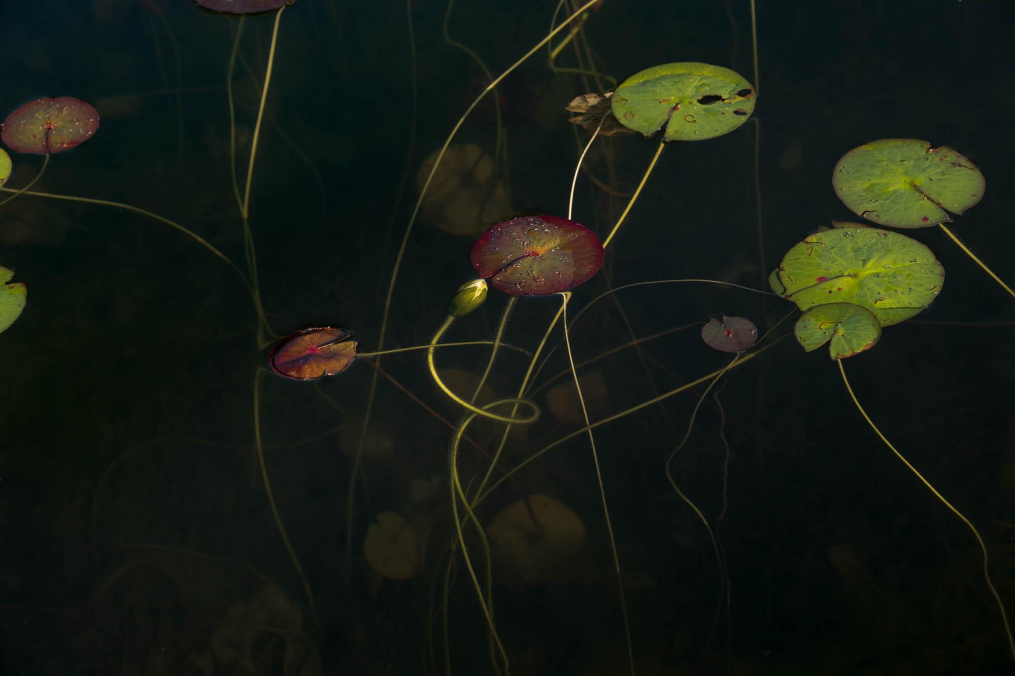 No. 377-553Jane Fulton Alt_ Water Lilies.jpg
