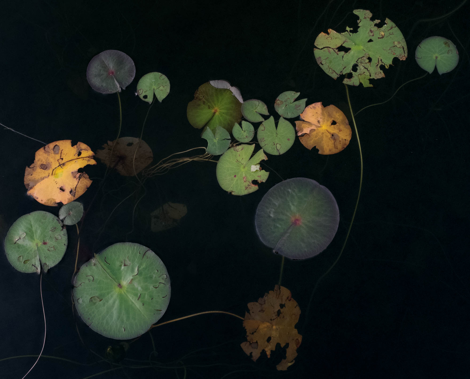 No. 233Jane Fulton Alt_ Water Lilies.jpg