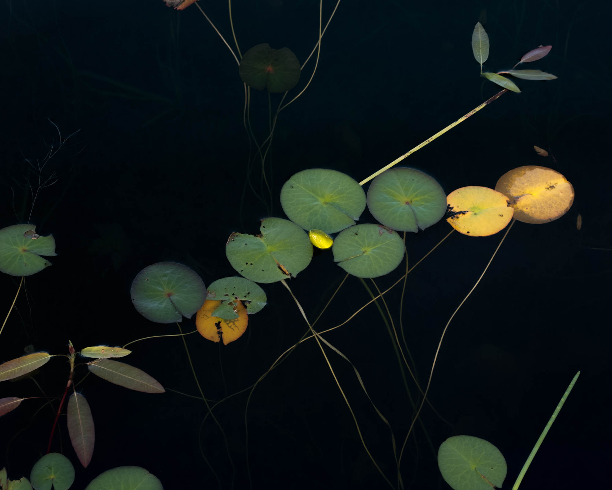 No.89-8275Jane Fulton Alt_ Water Lilies.jpg