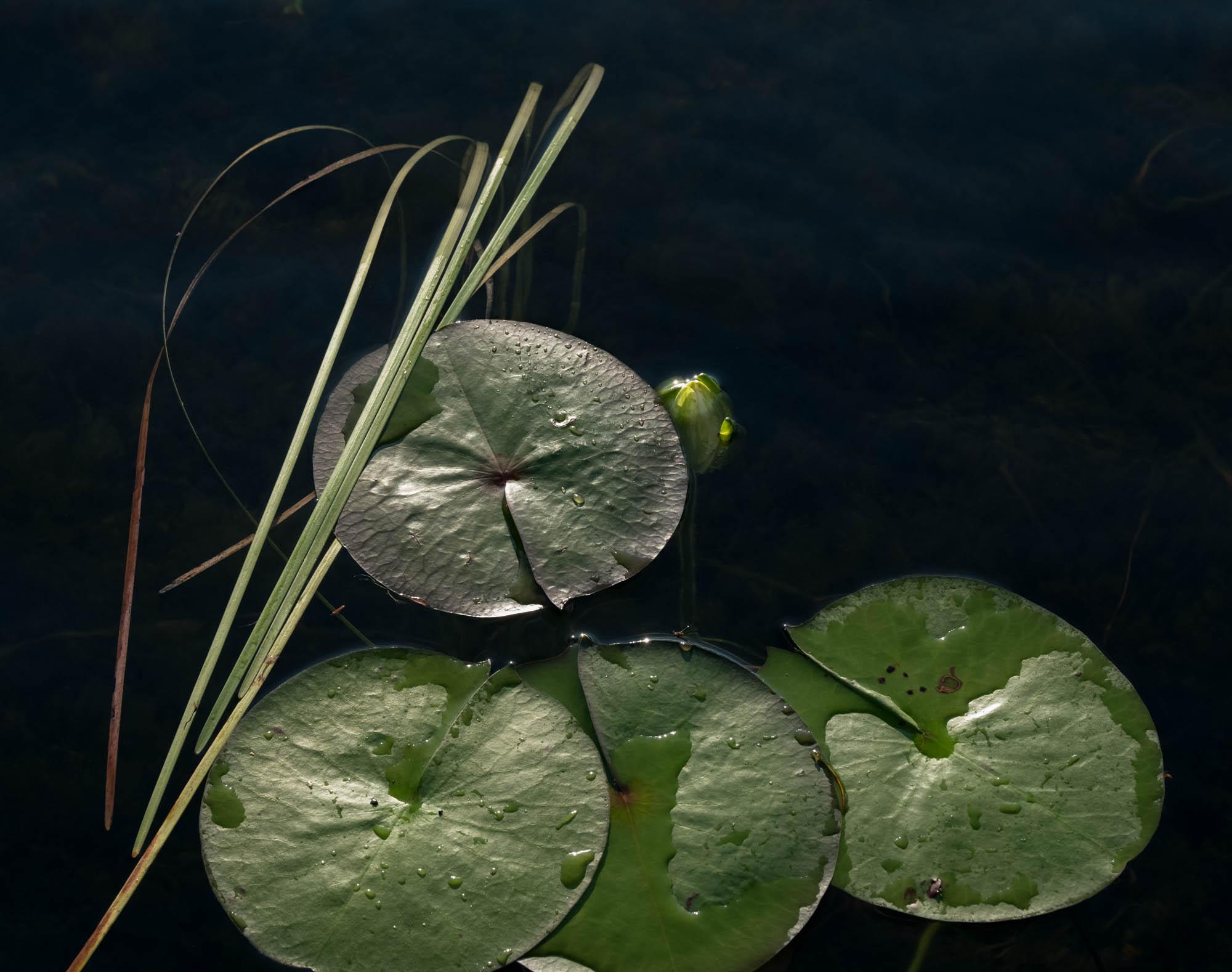 untitled shoot-7719Jane Fulton Alt_ Water Lilies.jpg