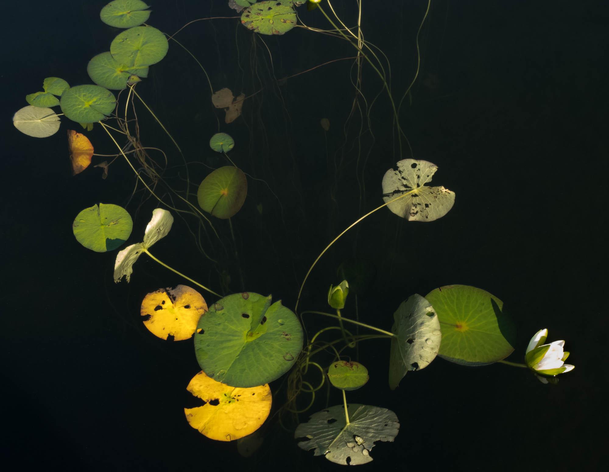 untitled shoot-9031-Edit copyJane Fulton Alt_ Water Lilies.jpg