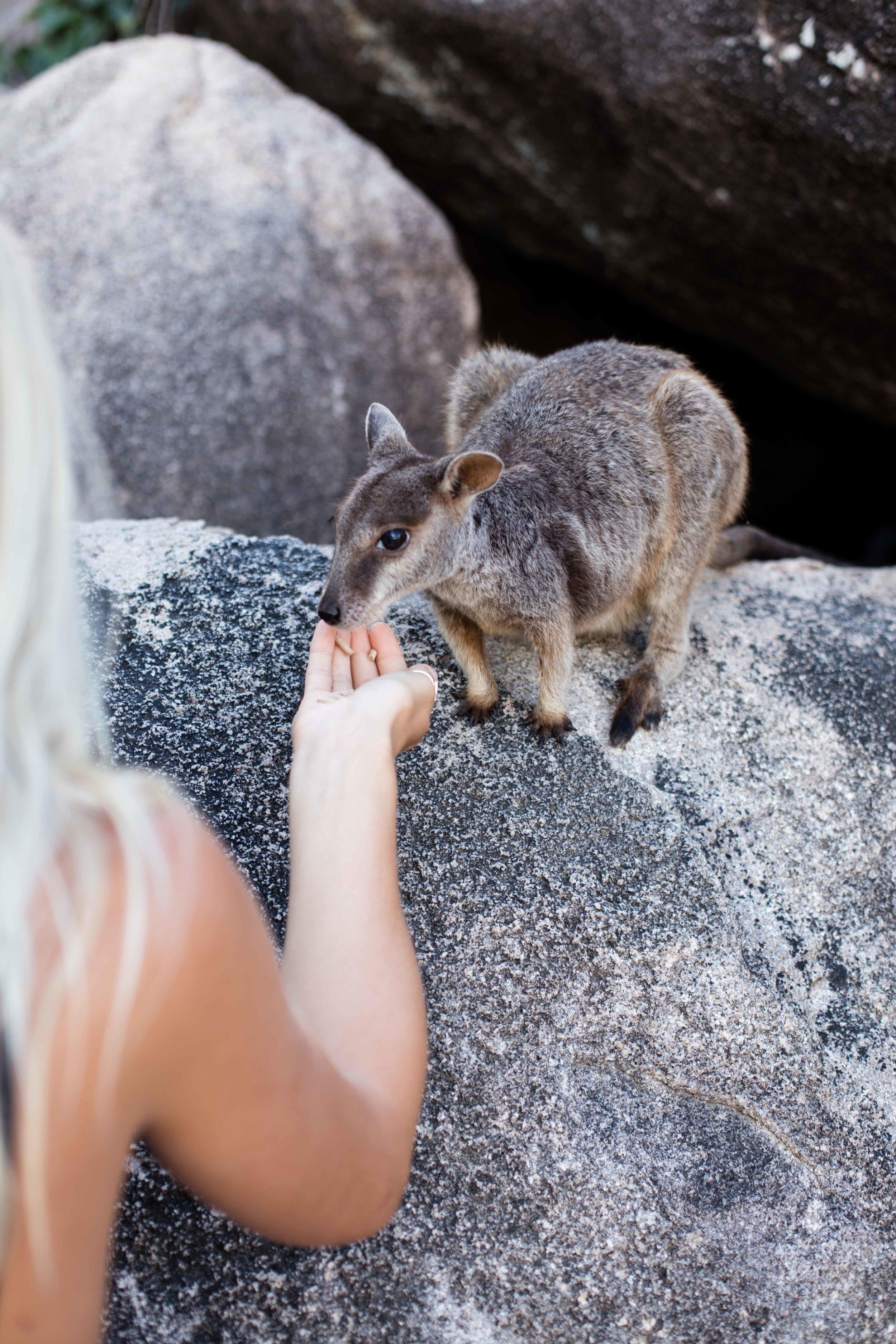 Feeding the local Rock Wallabies