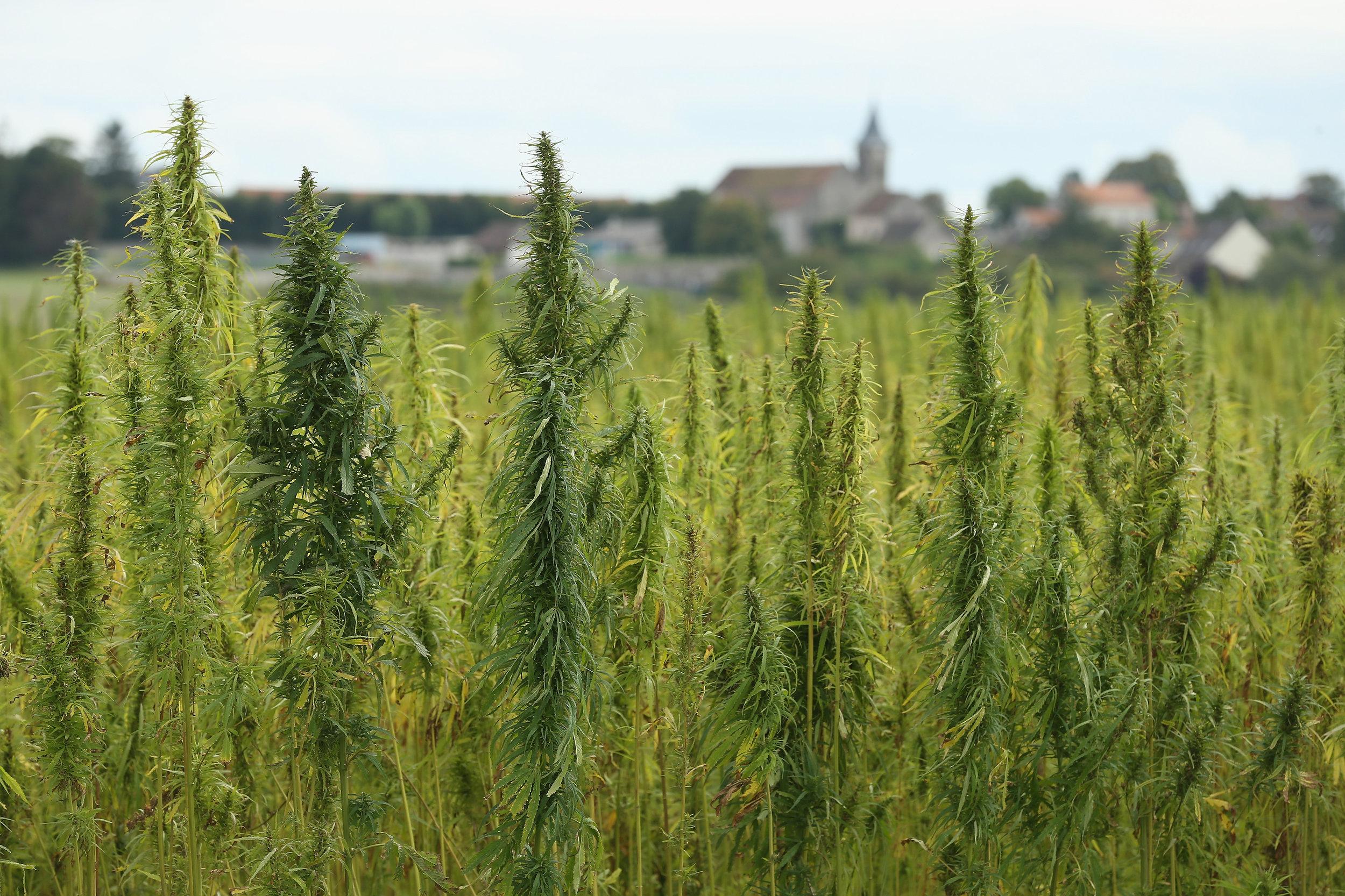 cannabis-hemp.jpg