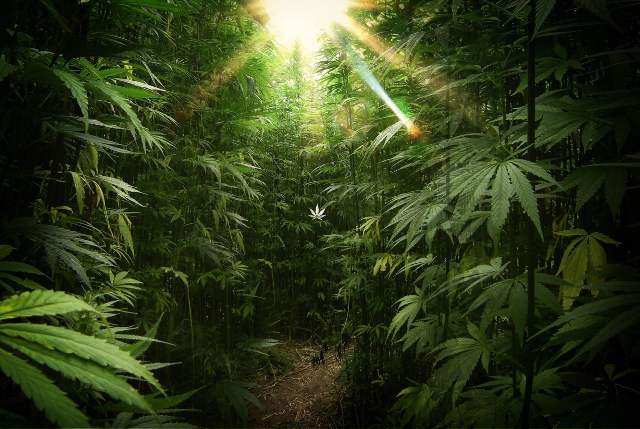 cannabis-leaf.jpg