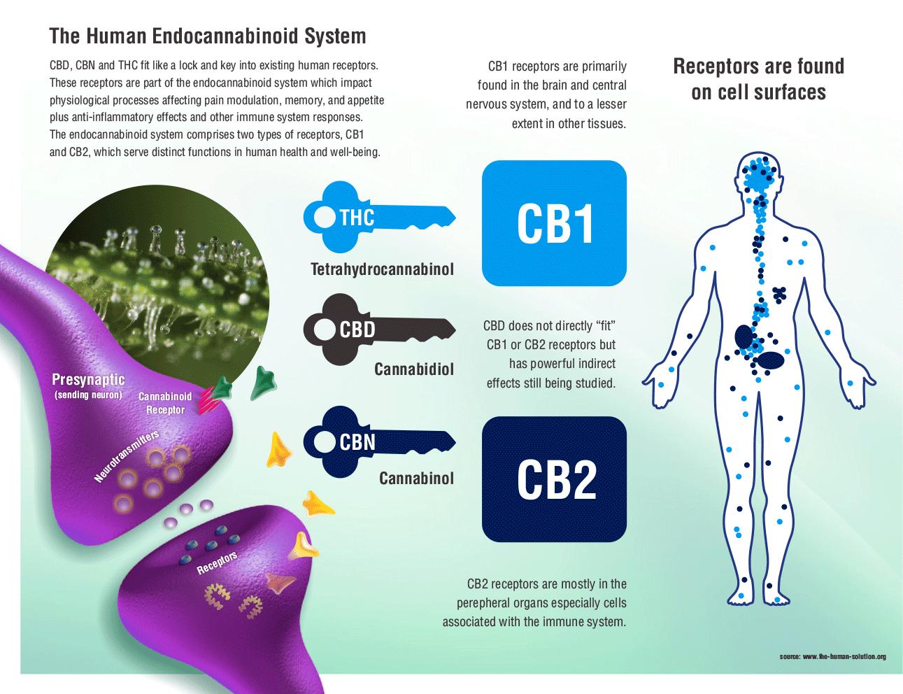 human-endocannabinoid-system.png
