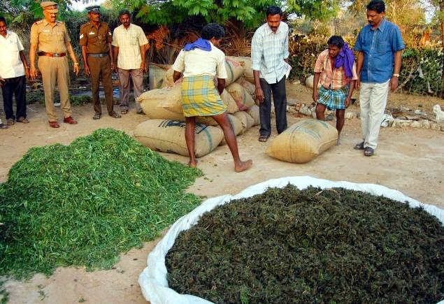 Police seizes over 400kgs of Cannabis in Tamil Nadu and they will usually end up burning the crop away.