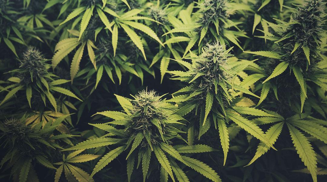 cannabis-101-blog-cover.jpg