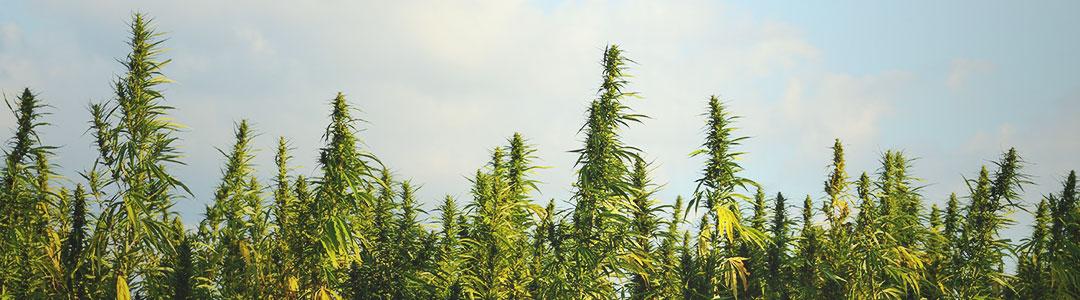 cannabis-sativa.jpg