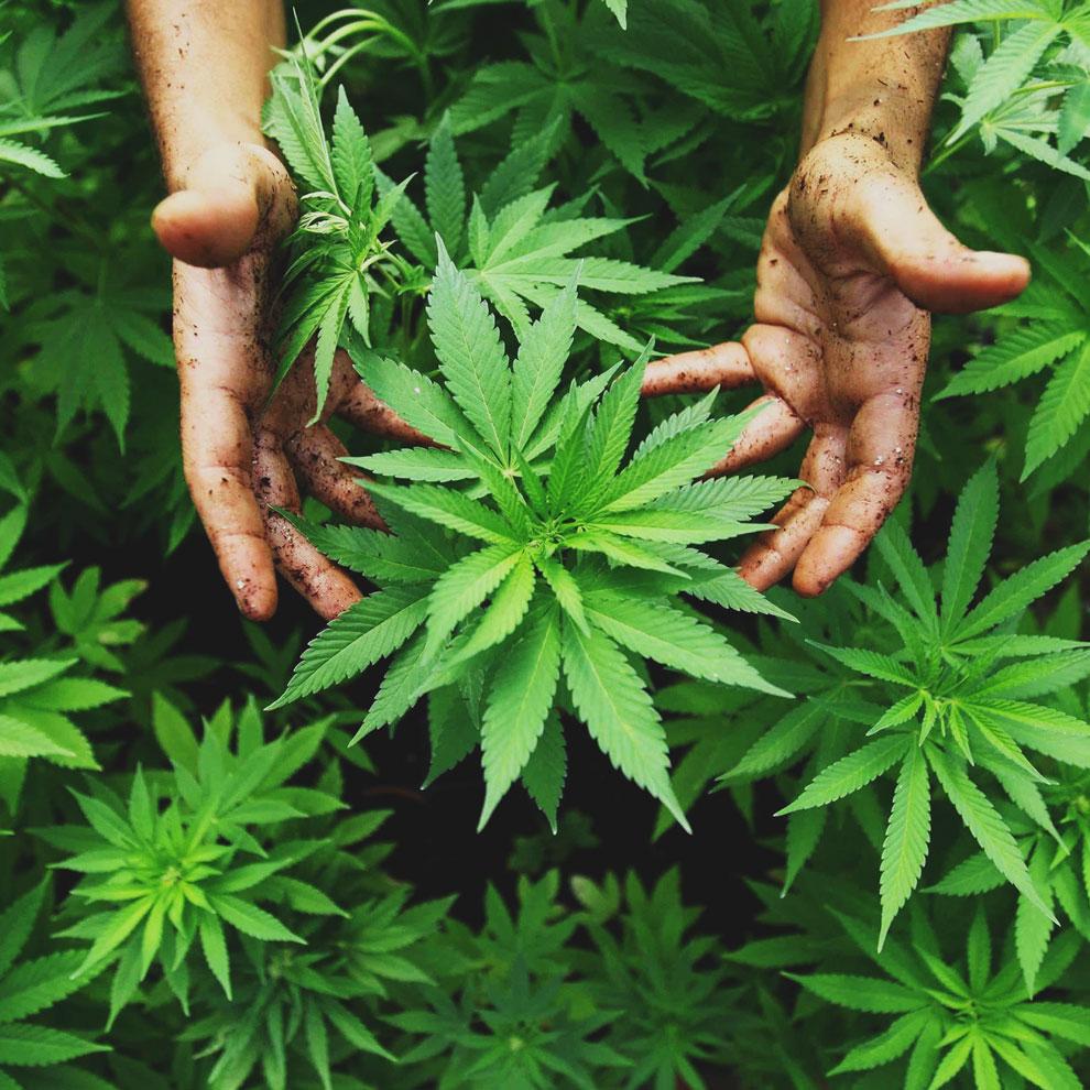 press-cannabis-101.jpg