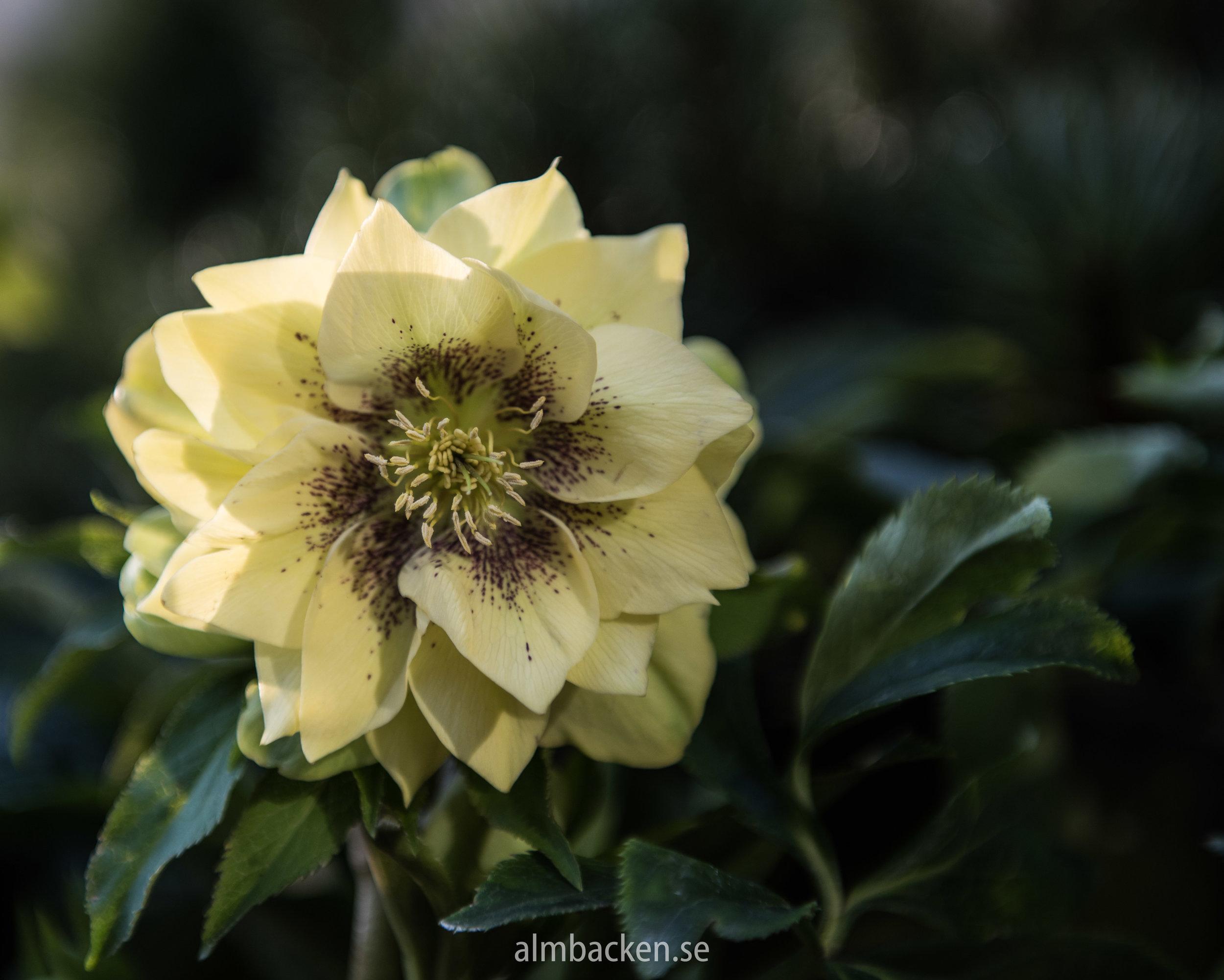 helleborus-orientalis-julros-3.jpg