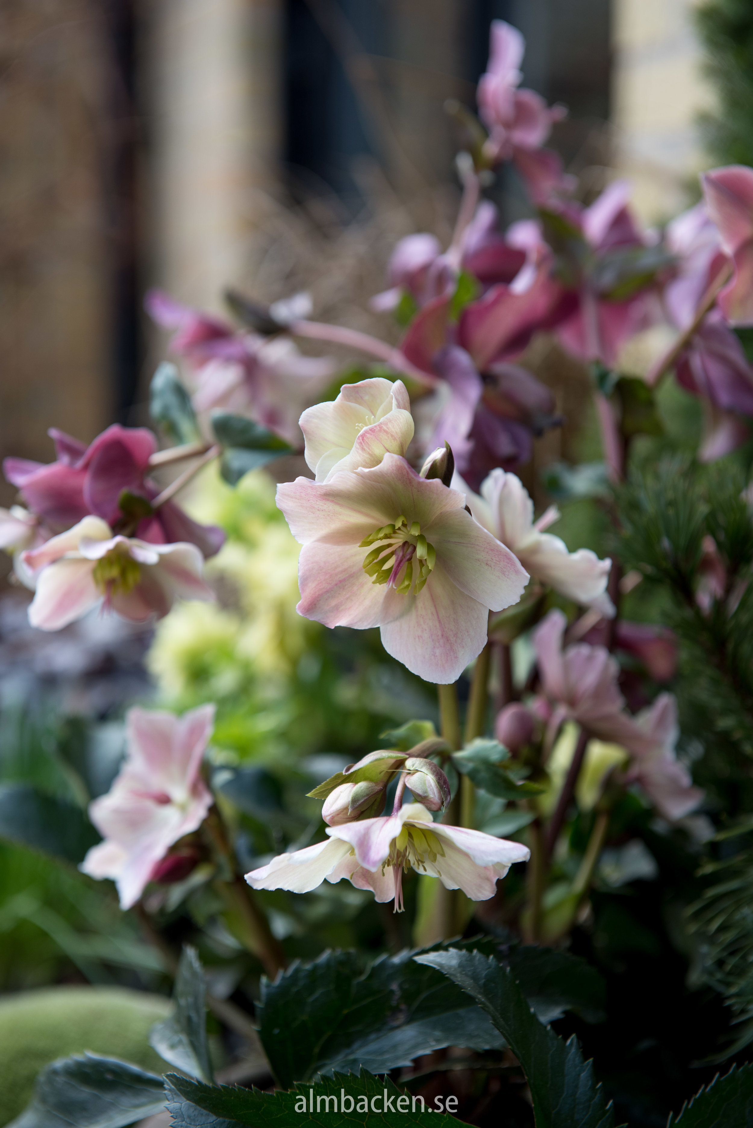 Julros-helleborus-orientalis.jpg