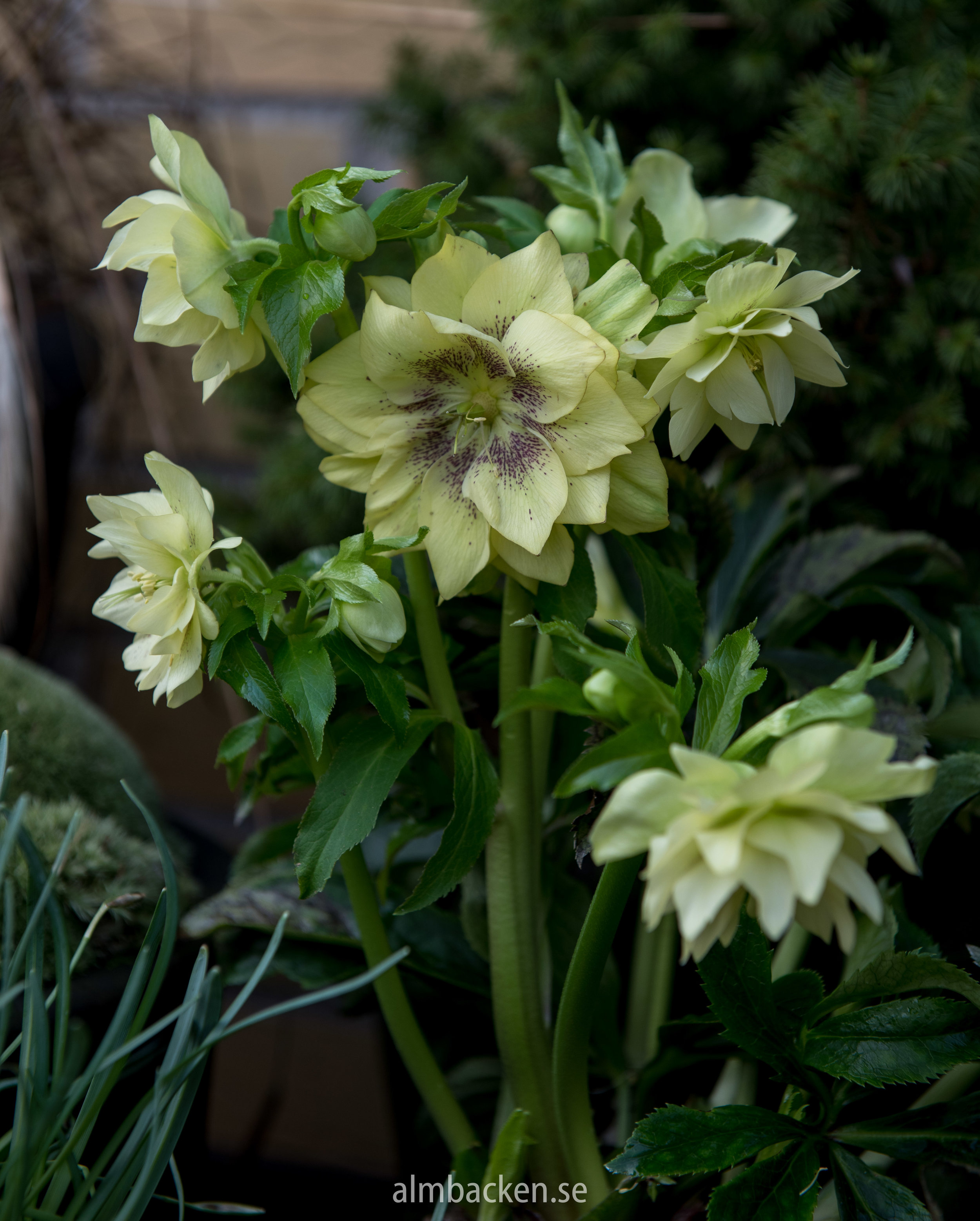 Julros-helleborus-orientalis-2.jpg