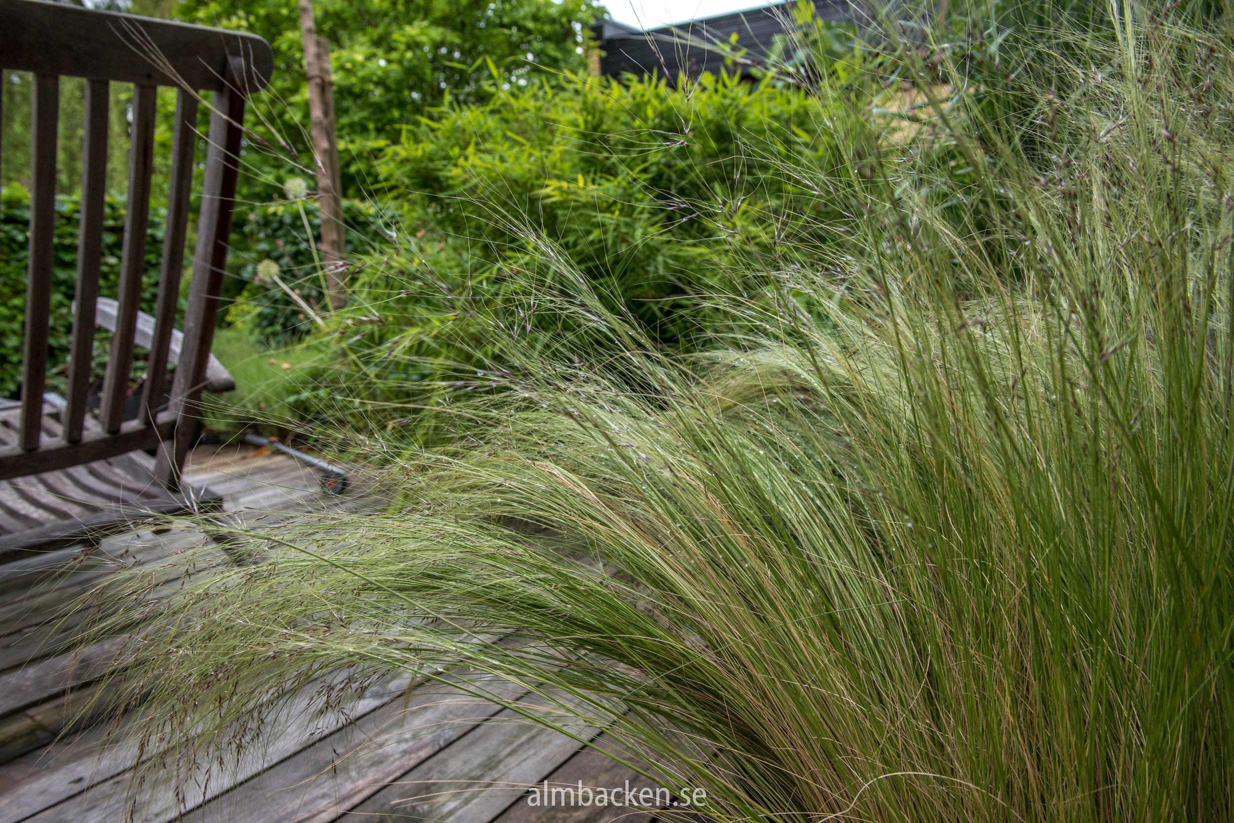 trädäck-decking-svansfjädergräs-pennisetum3.jpg
