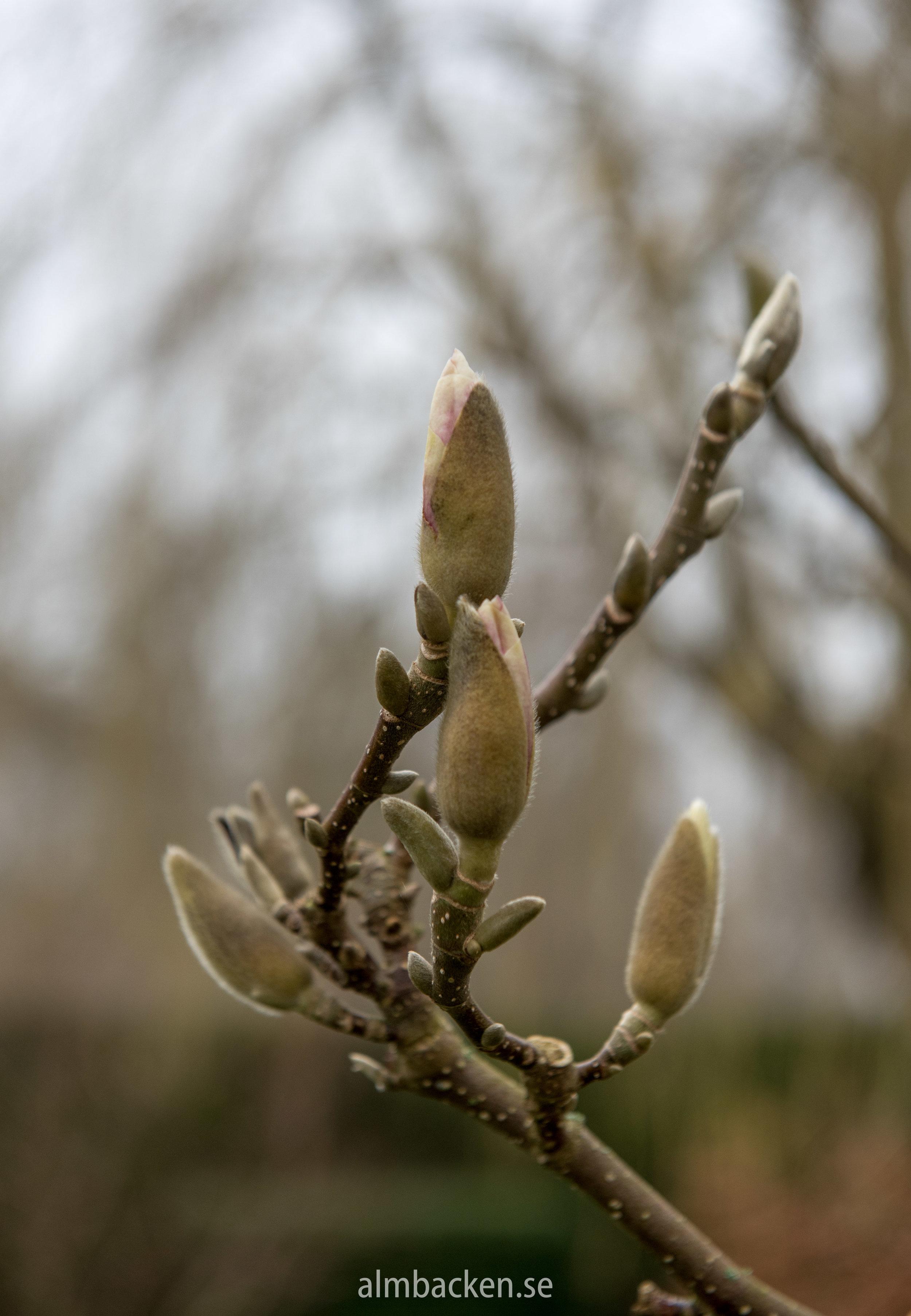 Praktmagnolia, Magnolia x Soulangeana