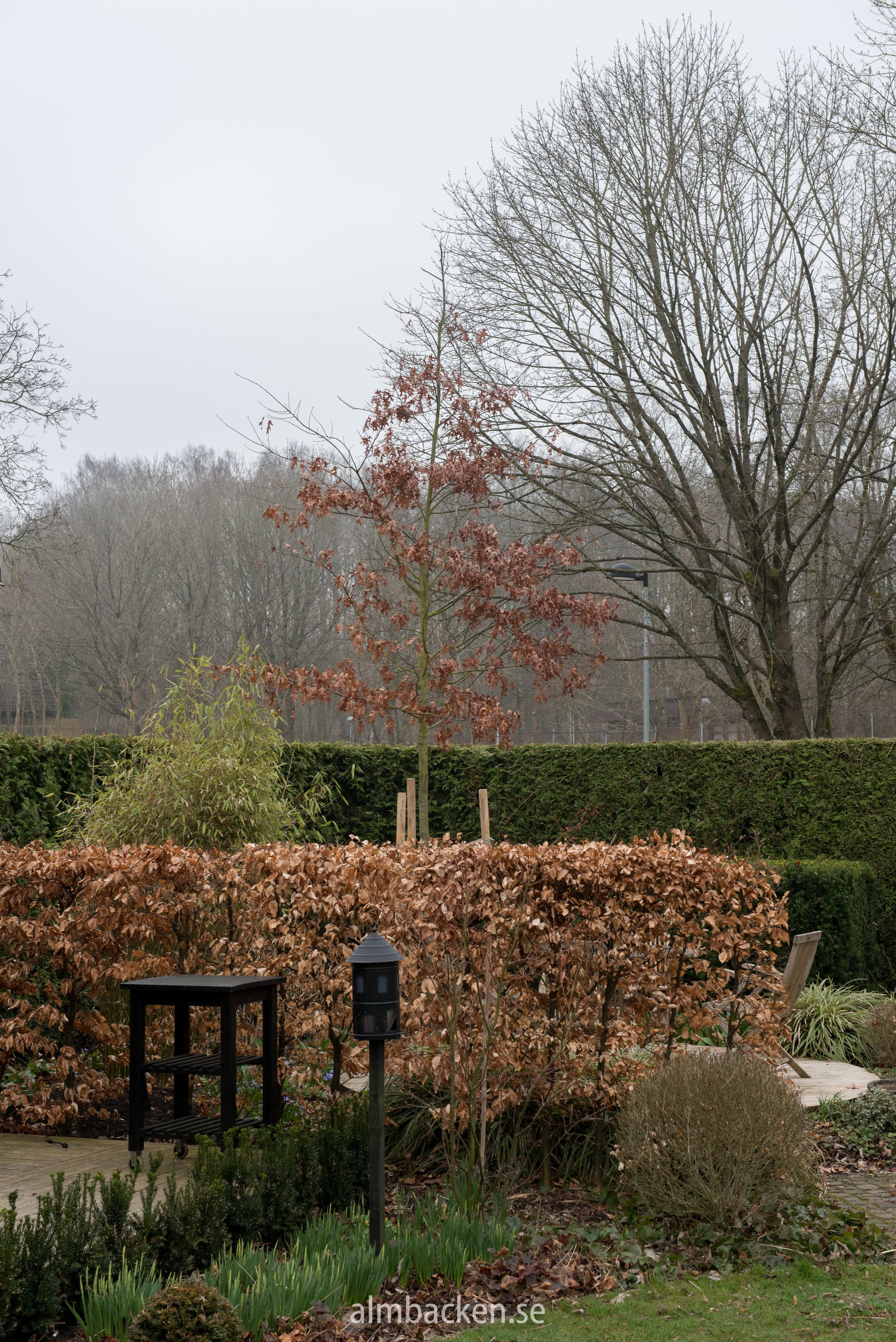 Scharlakansek, Quercus Ciccinea'