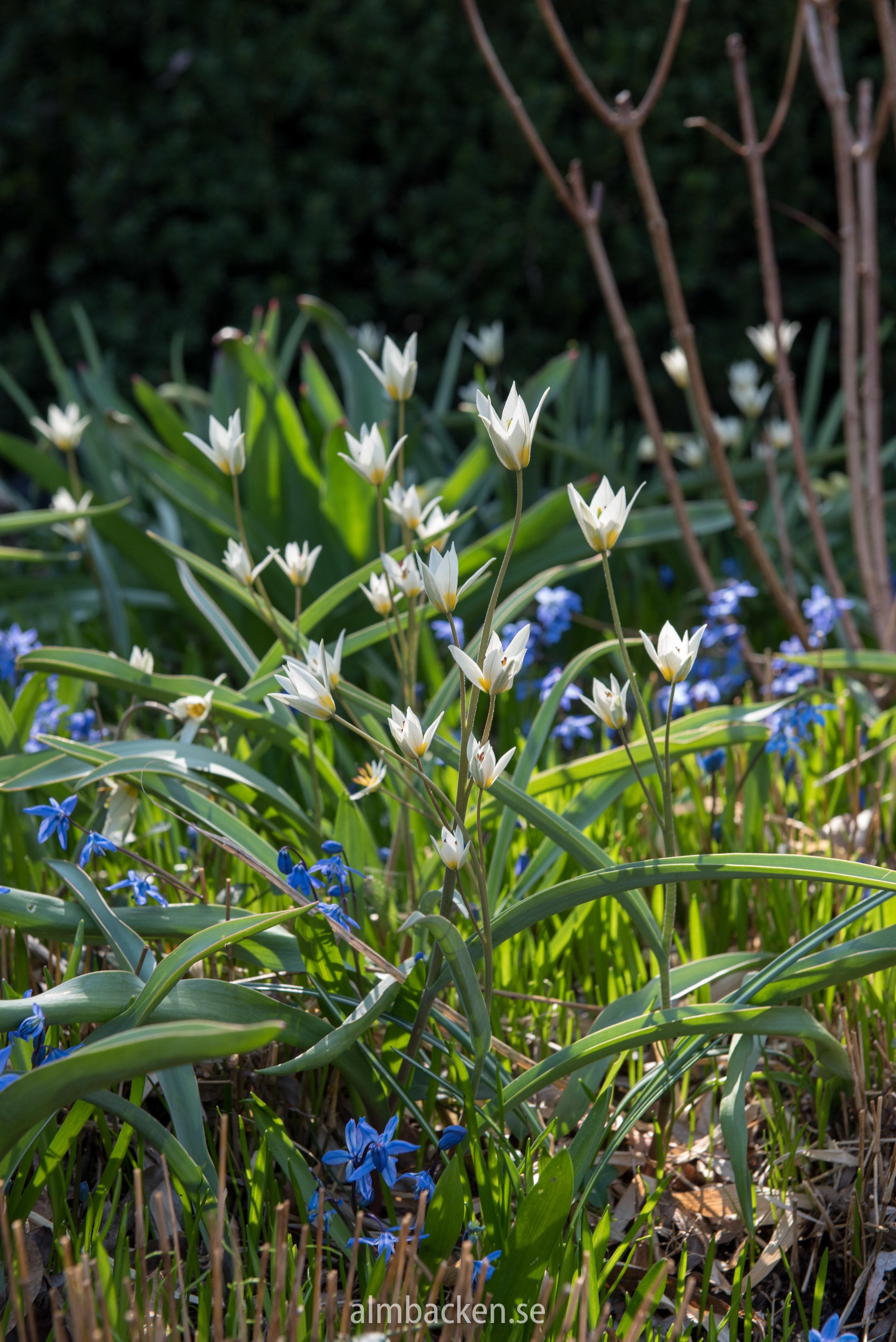 vildtulpan-tulipa-Turkestanica-Scilla.jpg