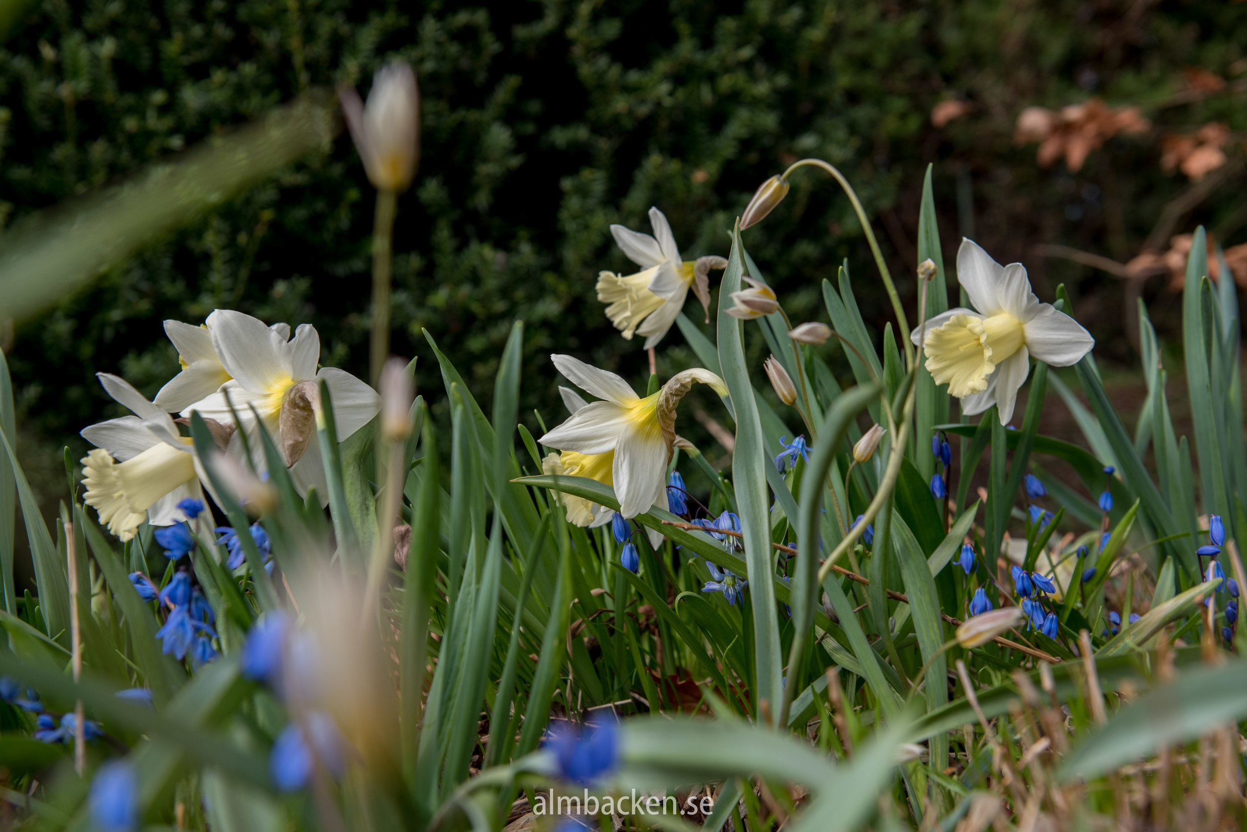 Narcissus-Mount-Hood-scilla-narciss.jpg