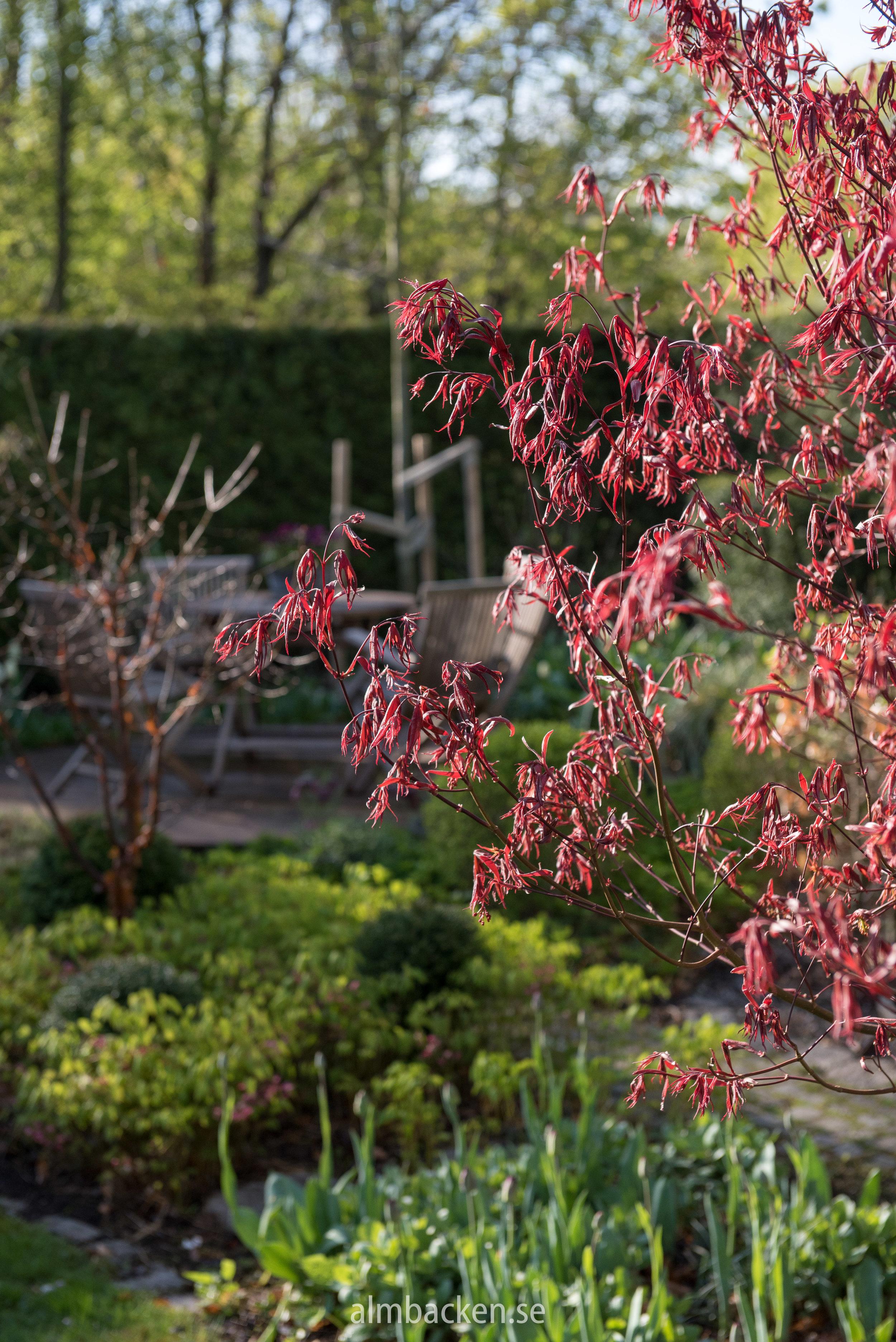 acer-palmatum-margaret-bee.jpg