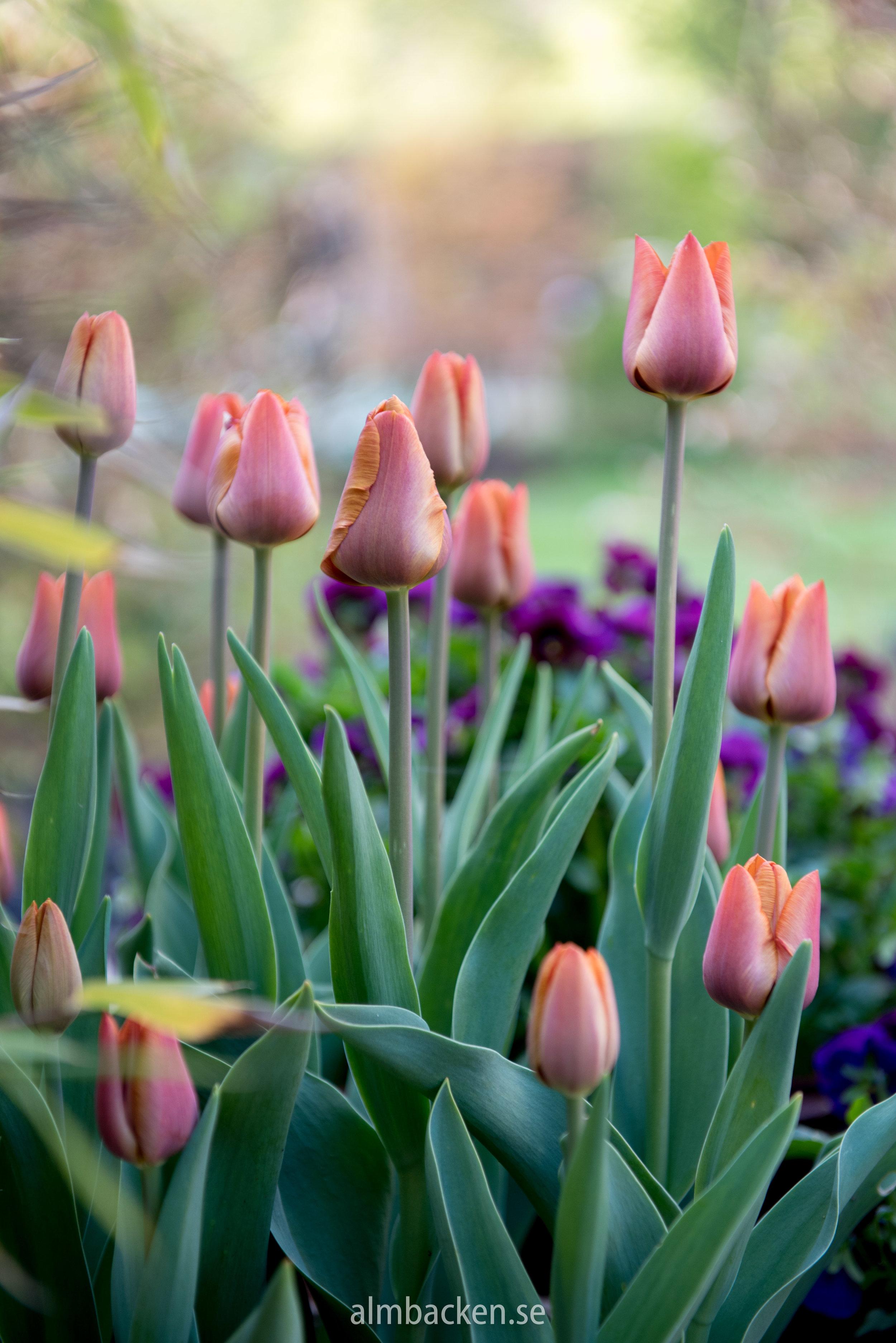 tulpan-cairo-tulipa.jpg