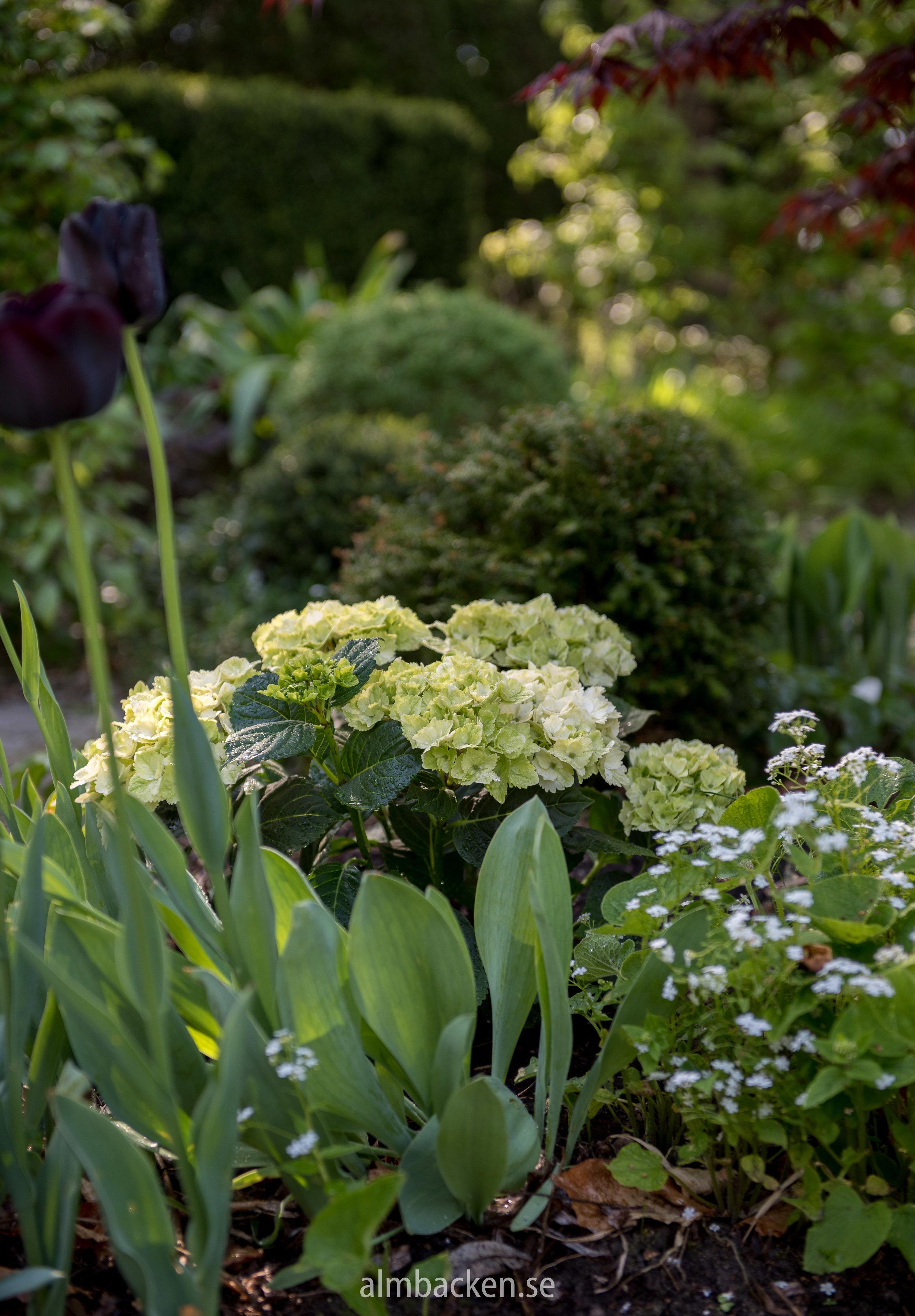 Hydrangea-macrophylla-magical-hortensia