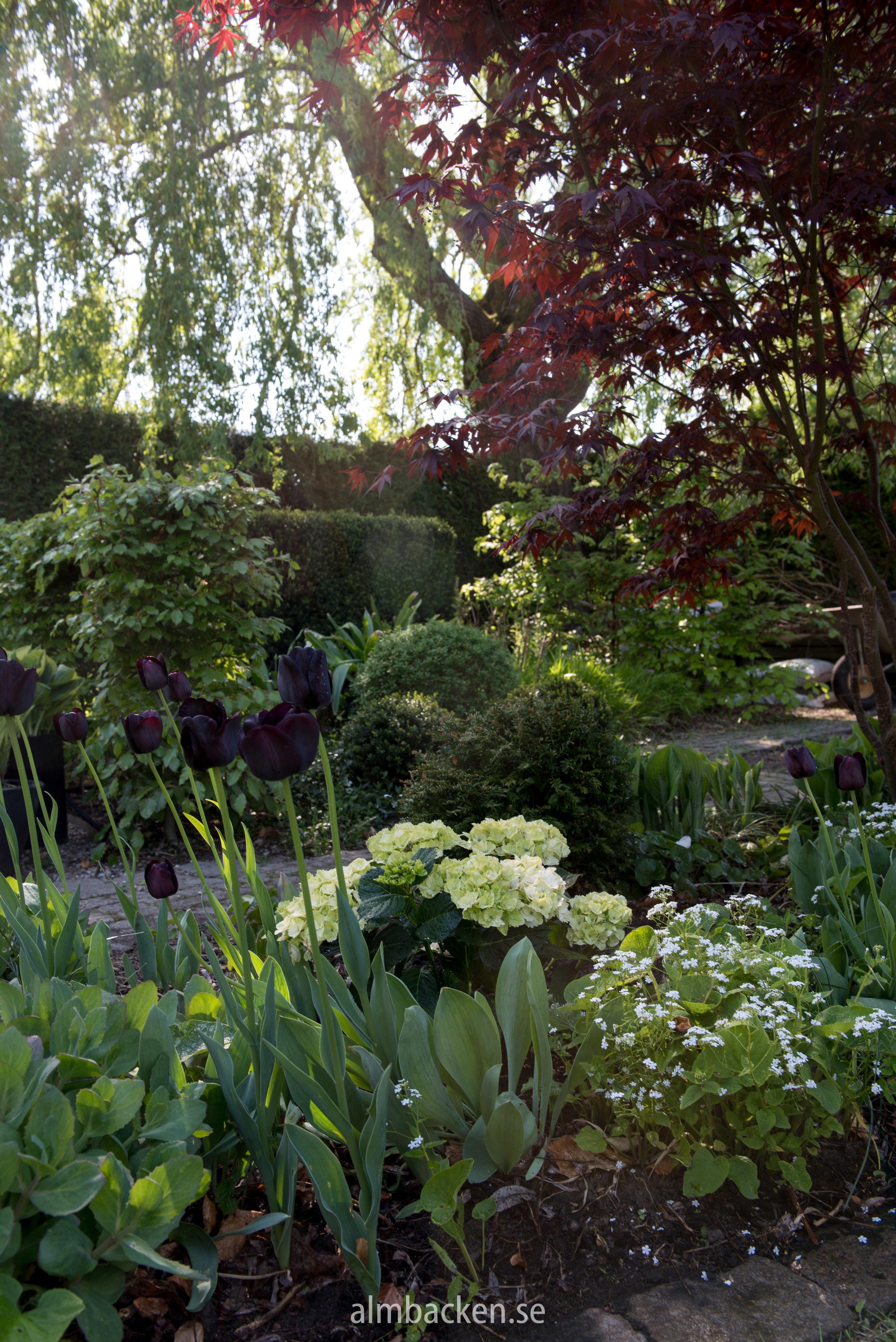 hortensia-magical-tulpaner-kaukasisk-förgätmigej-mrmorse-japansk-lönn,margaret-bee.jpg