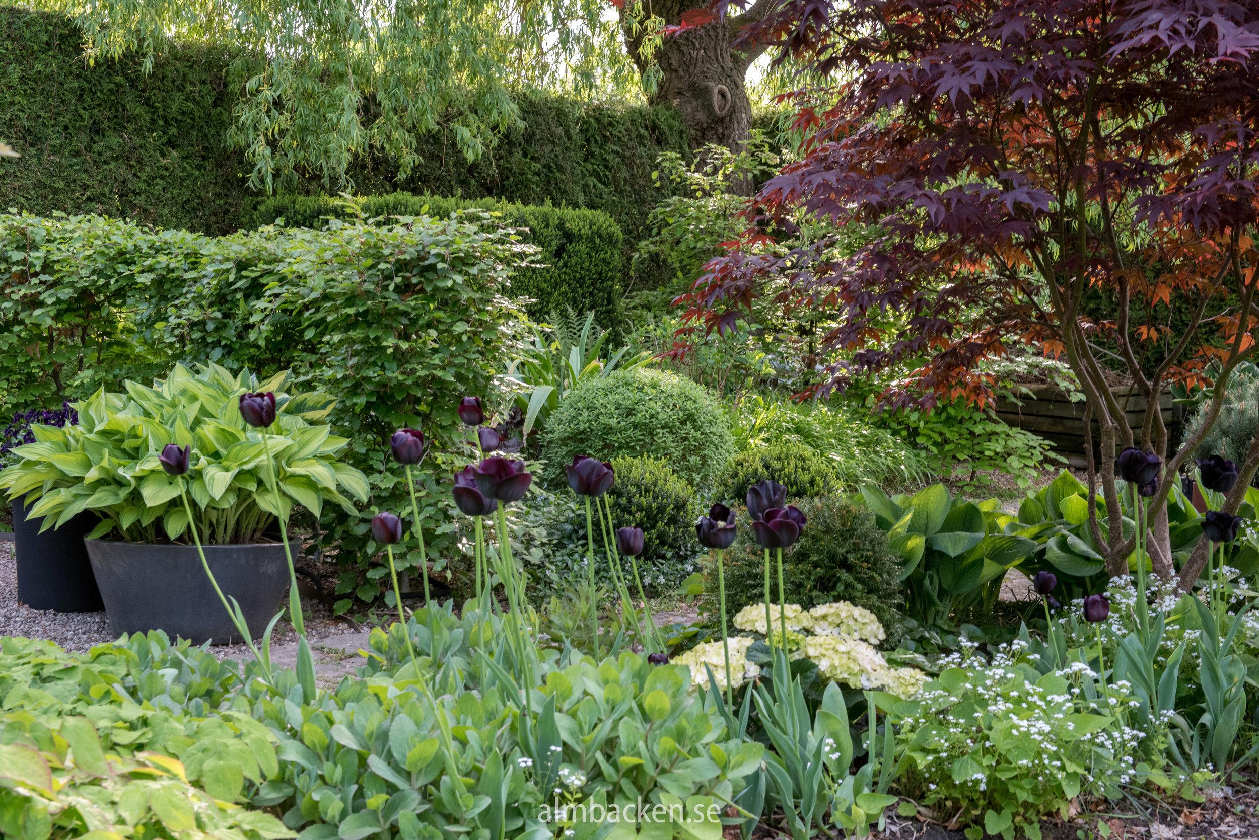 tulipa-paulscherer-japansk-lönn-acer- palmatum-margaret.bee.jpg