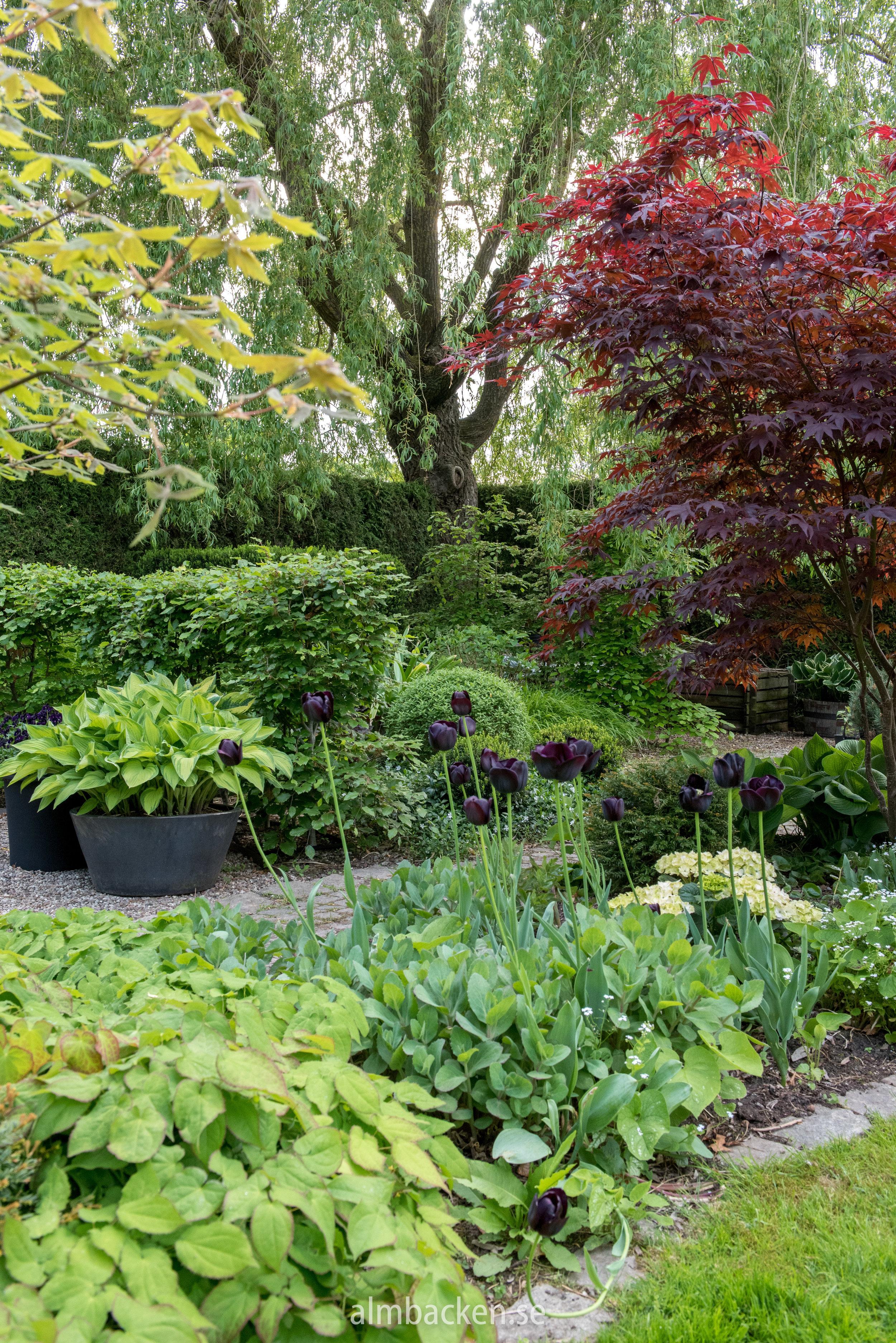 tulipa-paulscherer-svarta-tulpaner-japansk-lönn-maragaret-bee.jpg